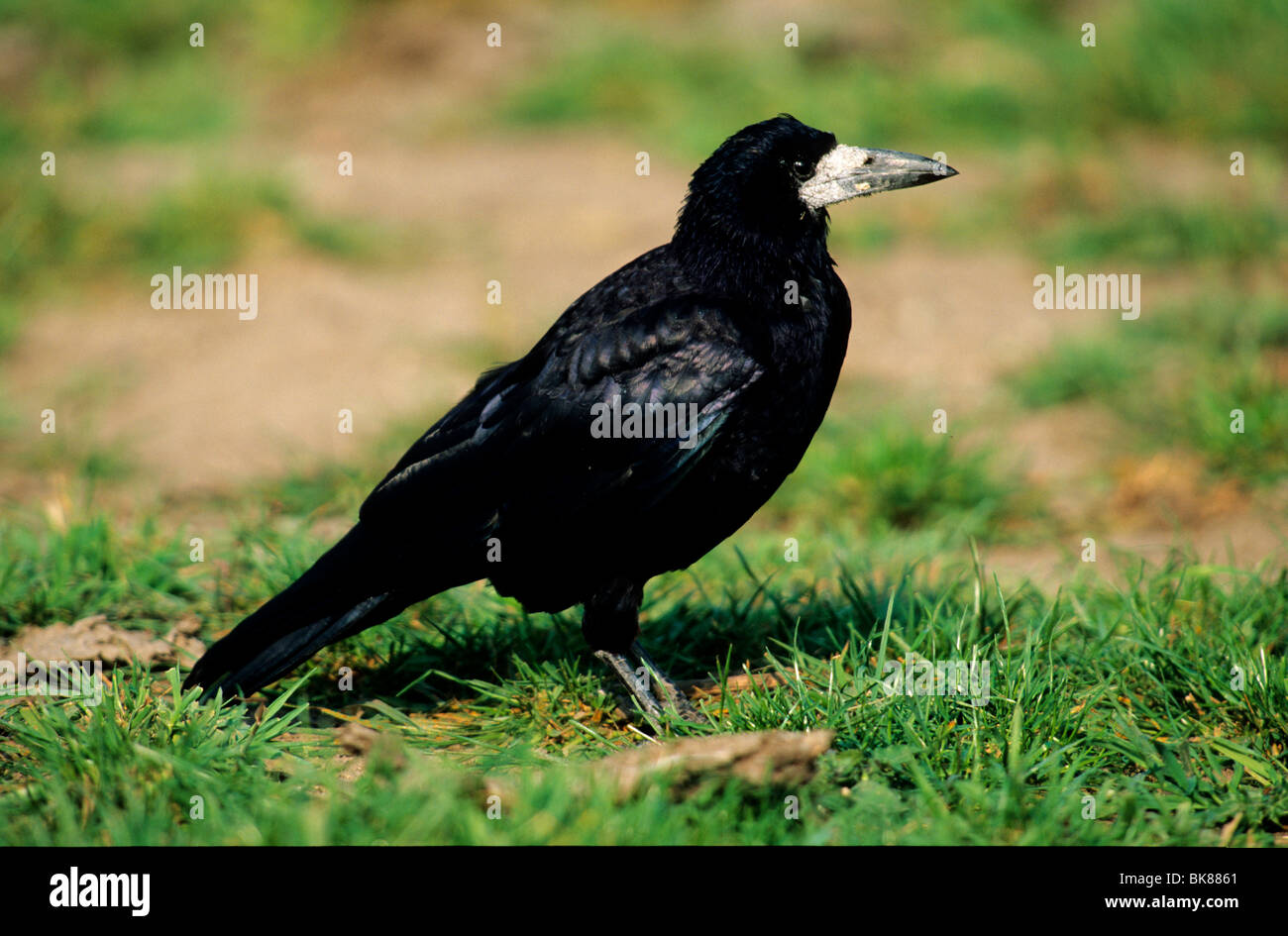 Rook (Corvus frugilegus) standing in the grass looking for food - Stock Image