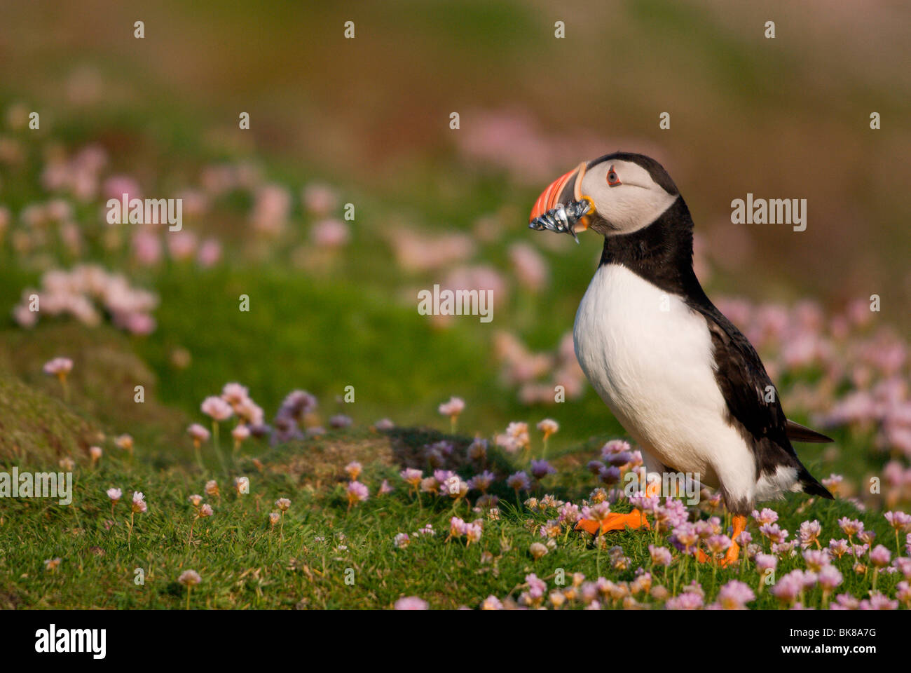 Puffin (Fratercula arctica) with fish in its beaks looking for a cave, Fair Isle, Shetland, Scotland, United Kingdom, - Stock Image