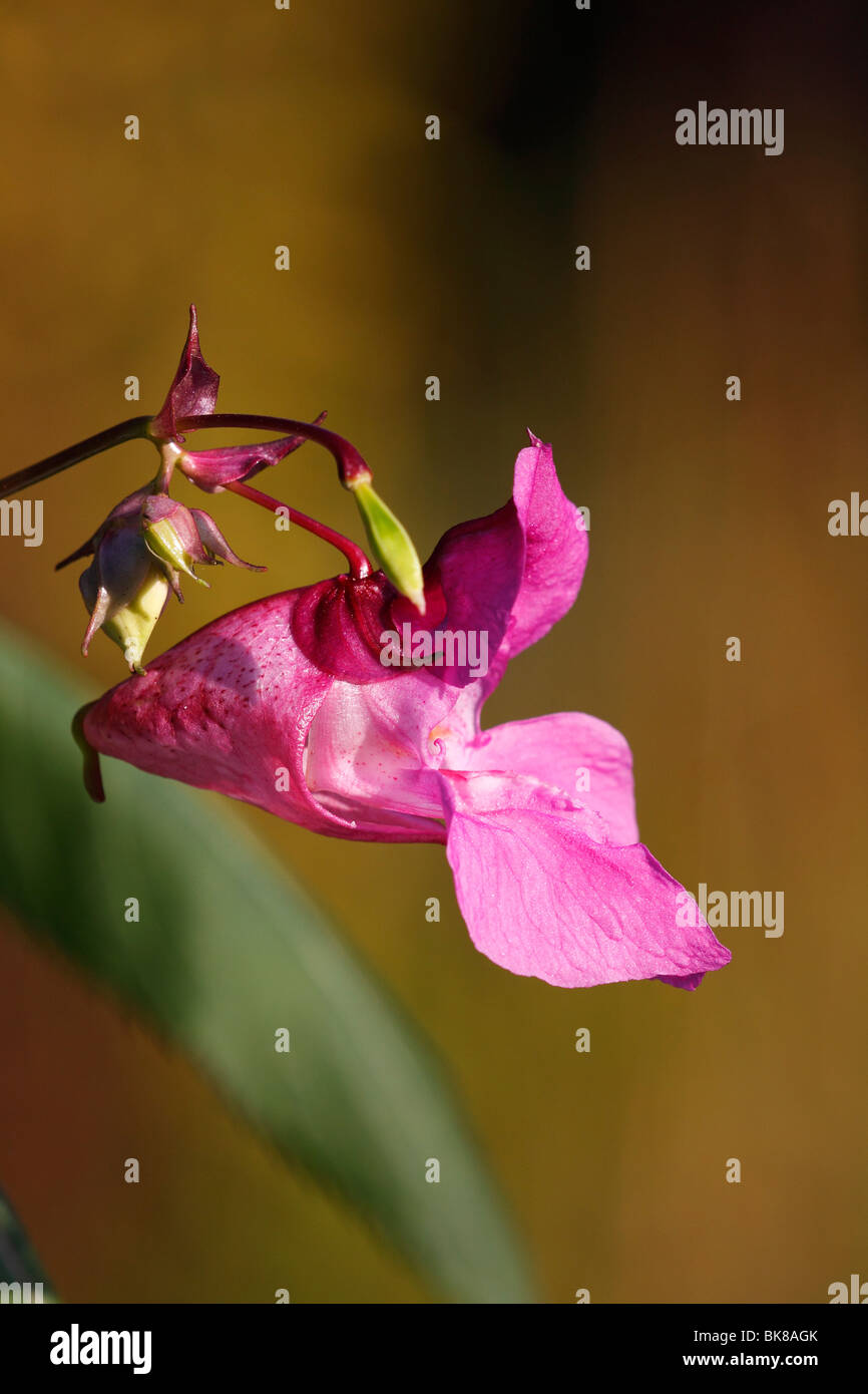 Himalayan Balsam (Impatiens glandulifera), blossom, side view - Stock Image