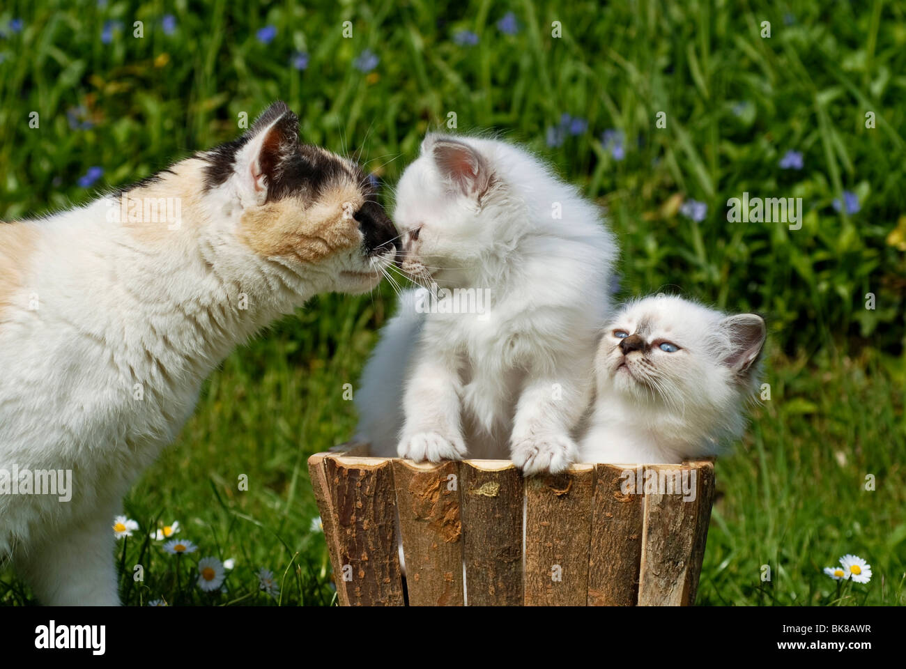 Two Birman kittens in a planter, greeting an adult cat - Stock Image