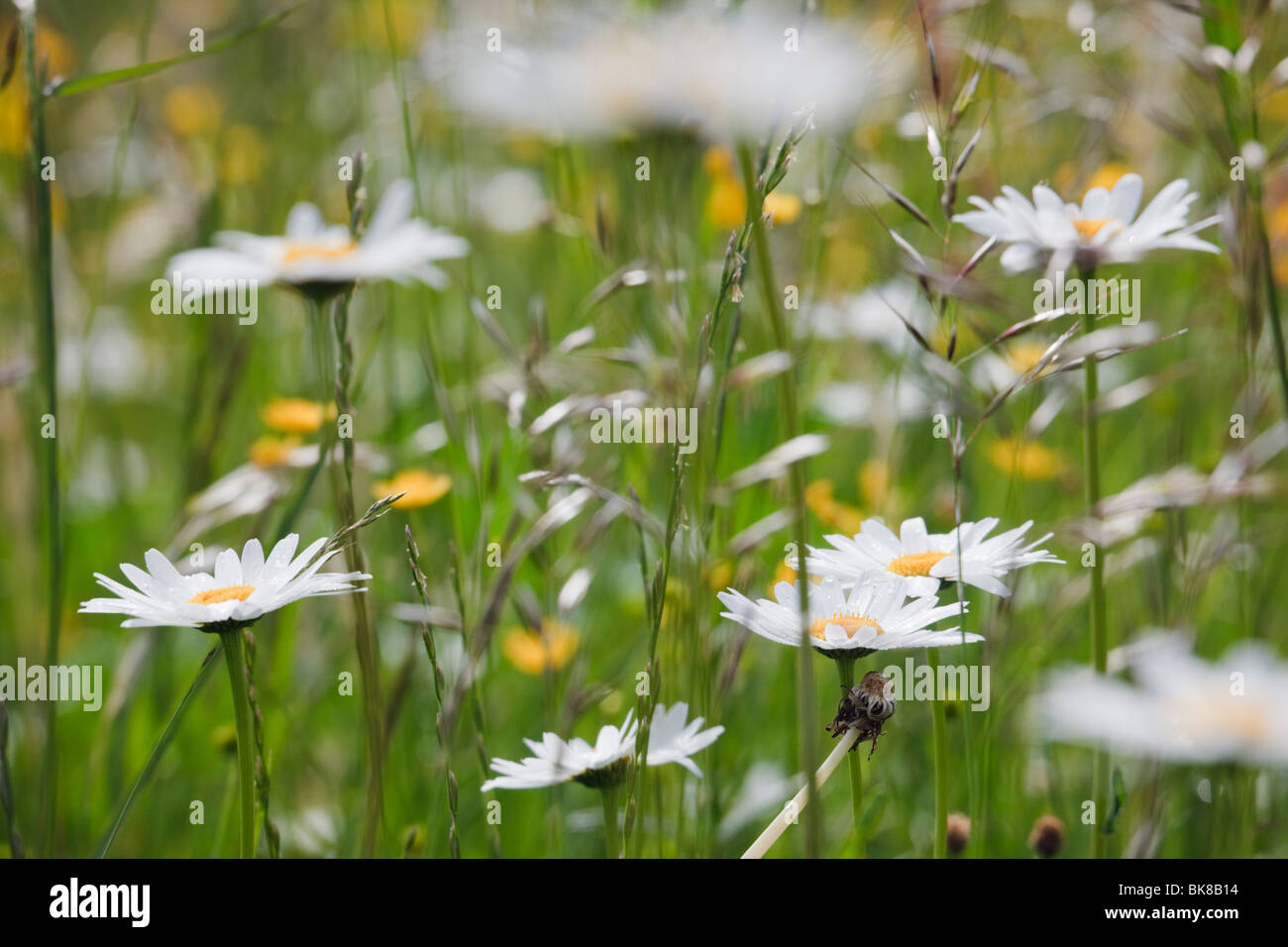 Europe. Ox-eye Daisies (Leucanthemum vulgare) growing with wild grasses in a wildflower meadow Stock Photo