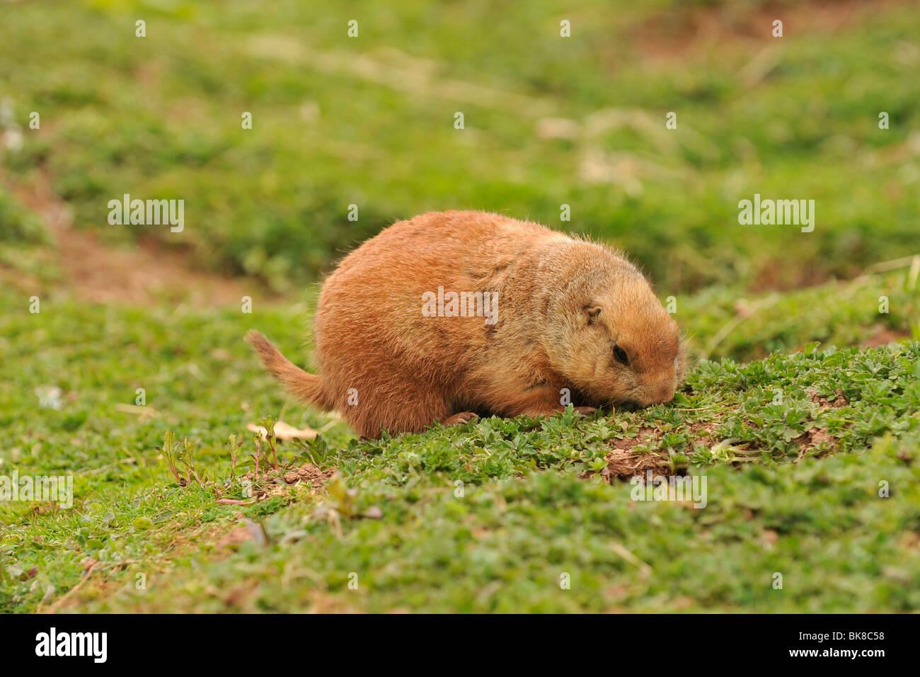 marmot - Stock Image