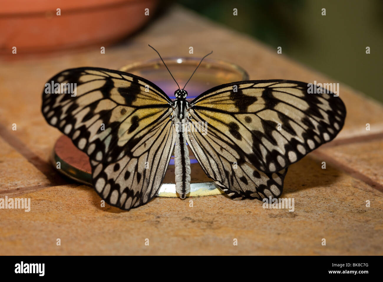 Idea leuconoe, Paper Kite, Rice Paper butterfly. The beautiful tropical butterfly drinks sweet nectar. - Stock Image