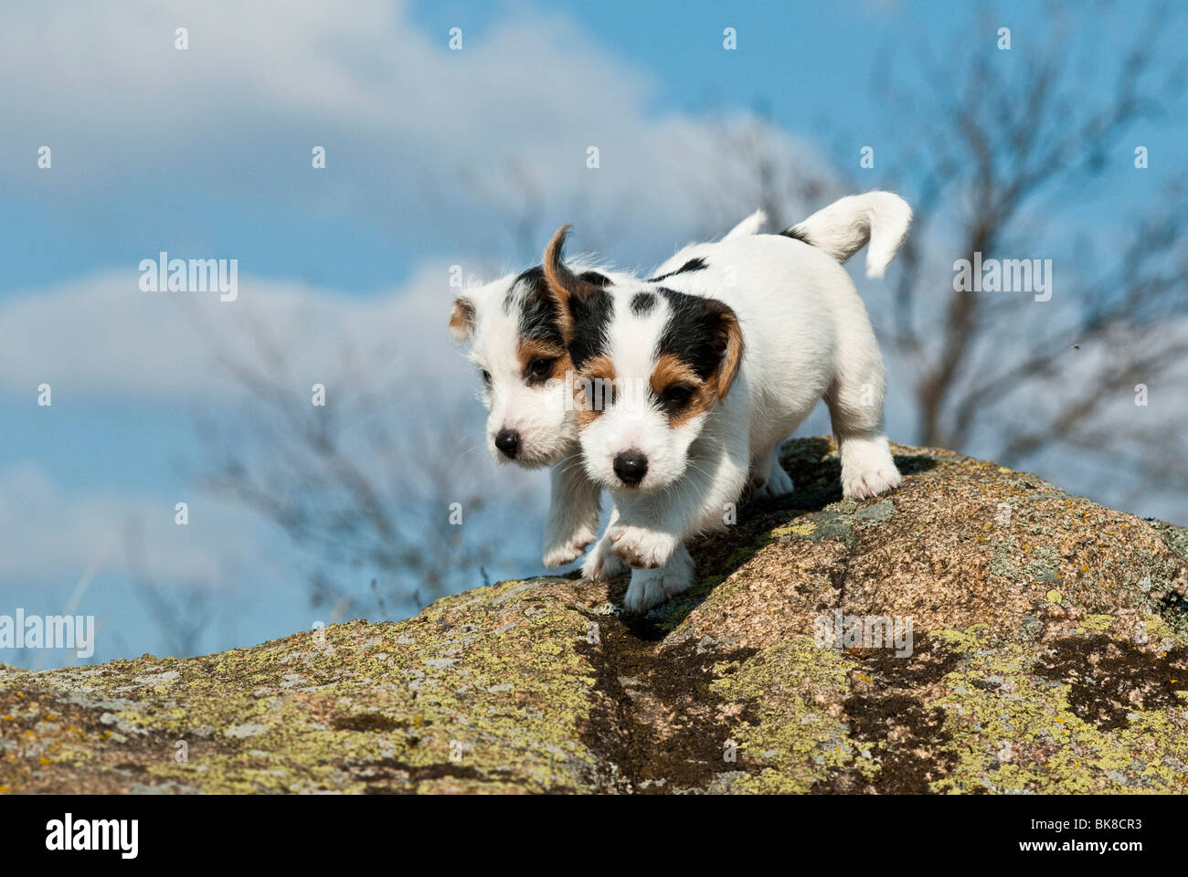 Two Jack Russell Terriers Stock Photos & Two Jack Russell Terriers ...