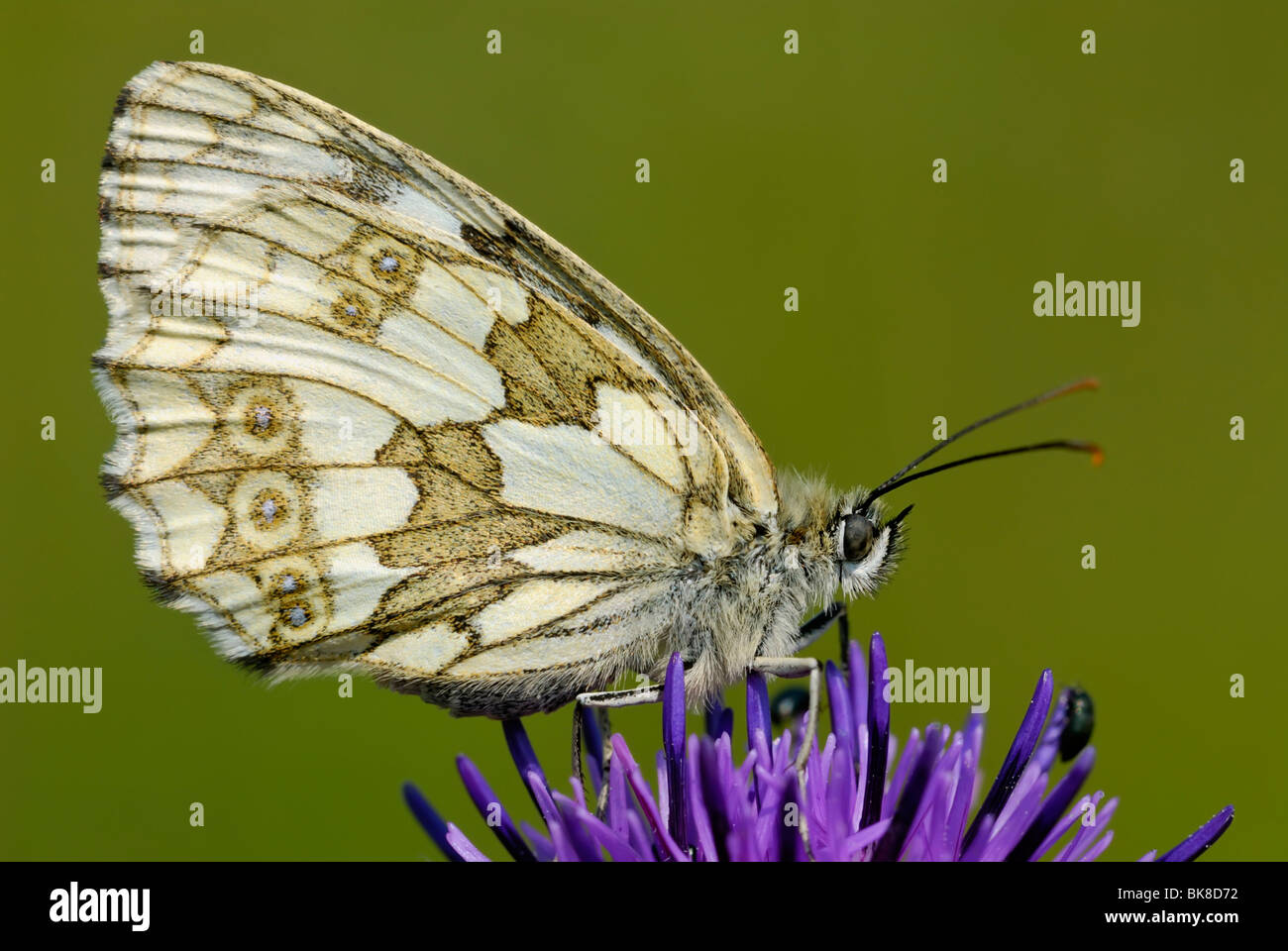 Marbled White butterfly (Melanargia galathea) seen from the side - Stock Image