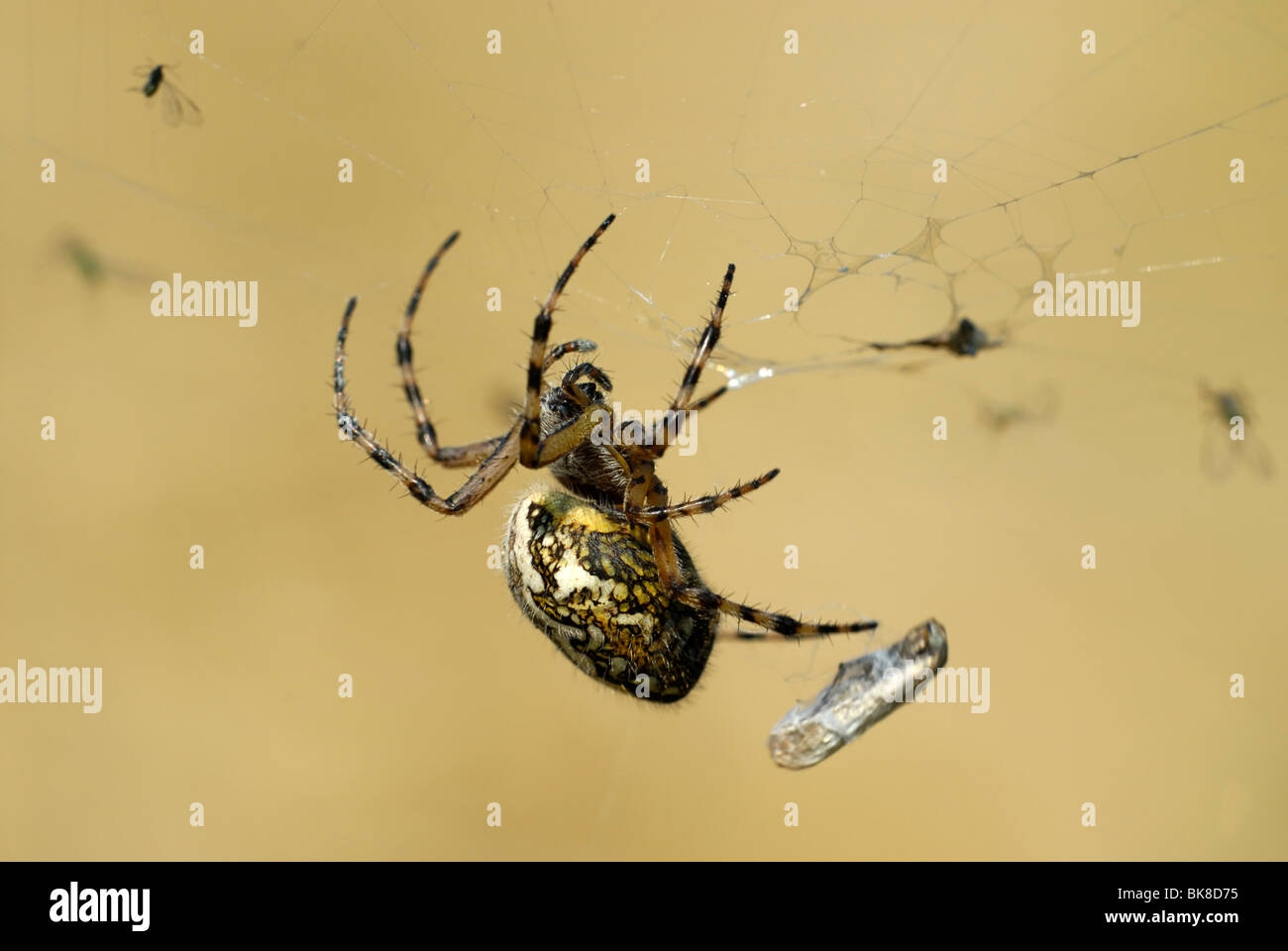 Oak Spider (Aculepeira ceropegia) in the midst of its prey - Stock Image