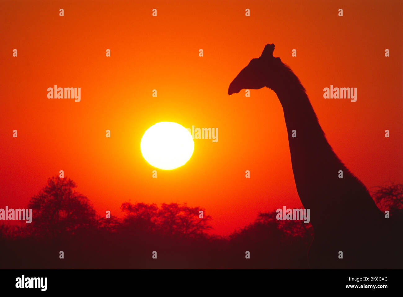 Giraffe (Giraffa cameleopardis) at sunrise, Etosha National Park, Namibia, Africa - Stock Image