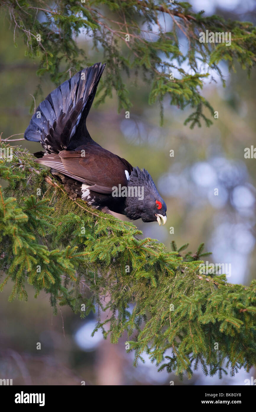 Wood Grouse (Tetrao urogallus) performing courtship display on a tree, Vaestergoetland, Sweden, Scandinavia, Europe Stock Photo
