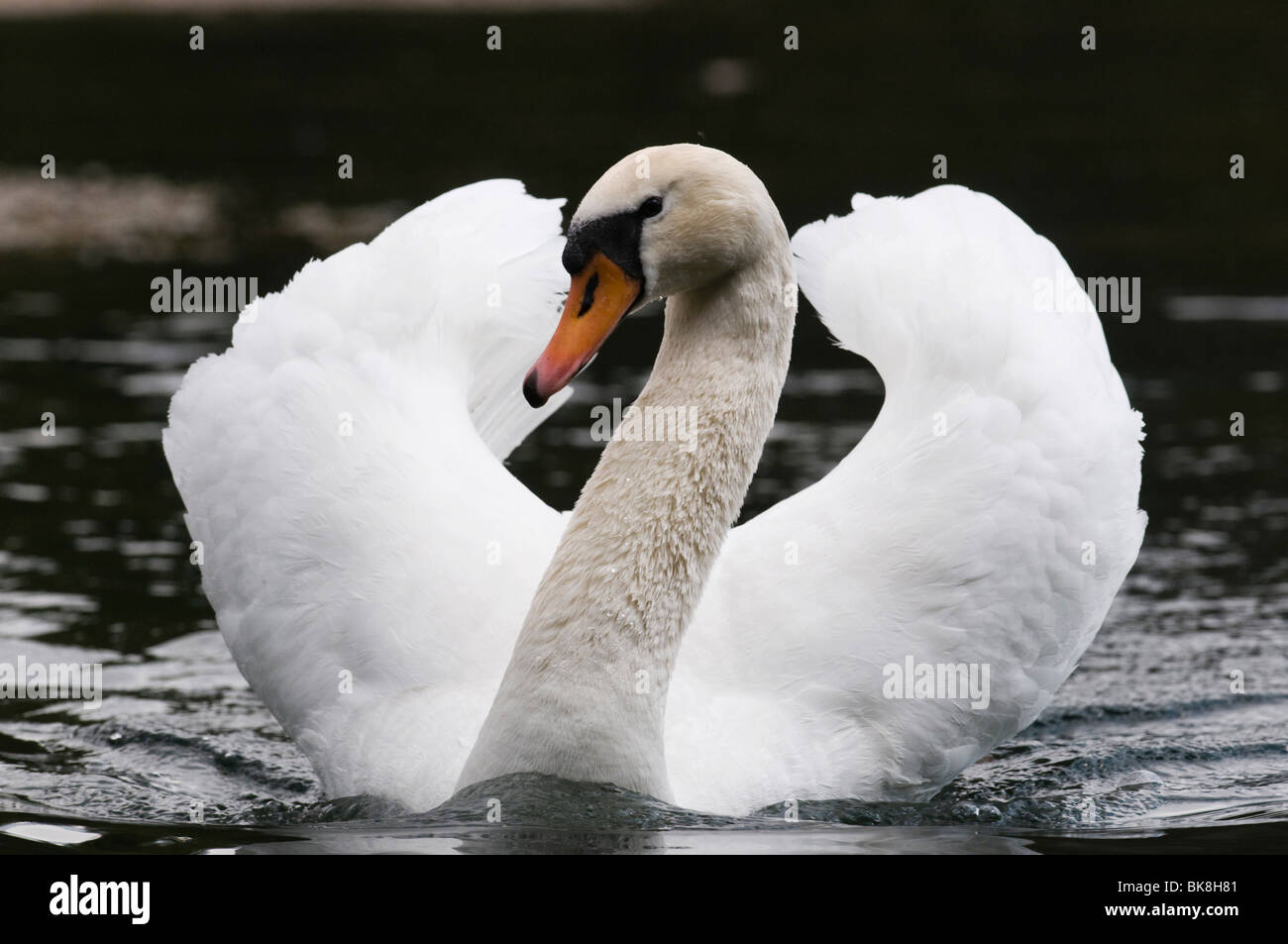 Mute Swan (Cygnus olor), swimming male in threat posture - Stock Image