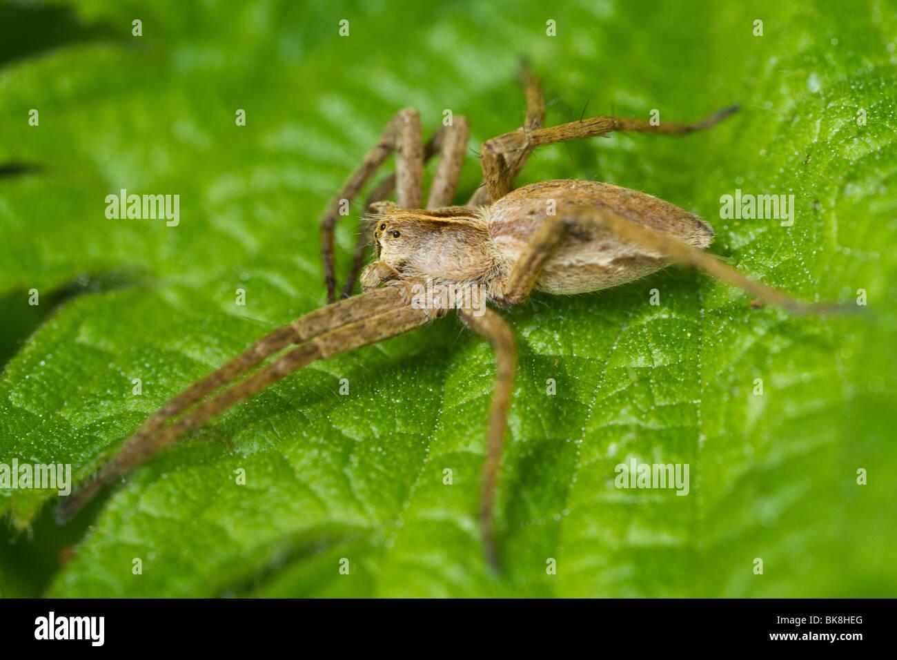 Nursery web spider (Pisaura mirabilis) - Stock Image