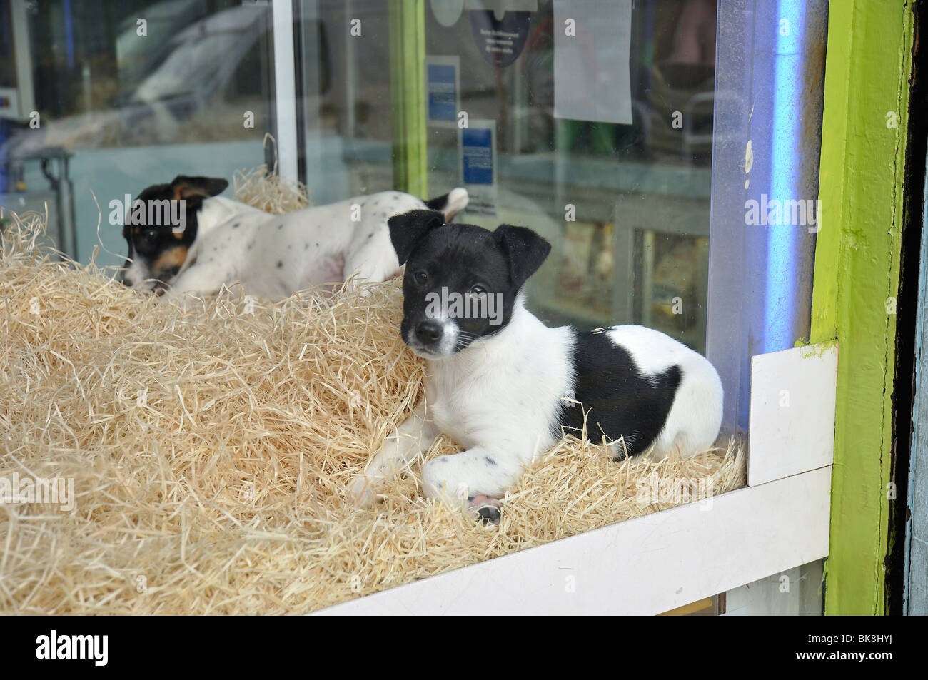 Puppy Pet Shop Window High Resolution Stock Photography And Images Alamy