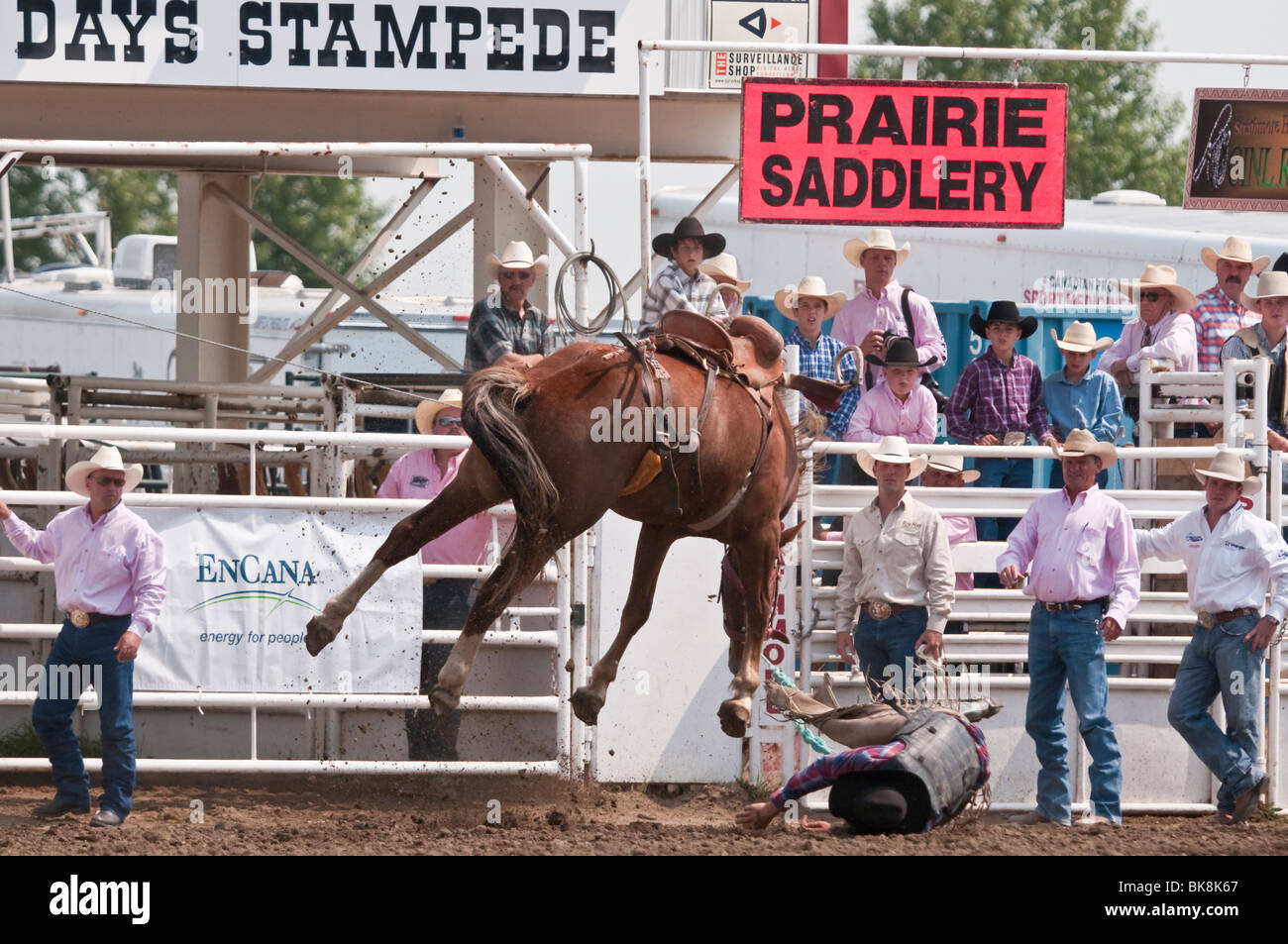 Cowboy thrown from his horse, saddle bronc riding, Strathmore Stock