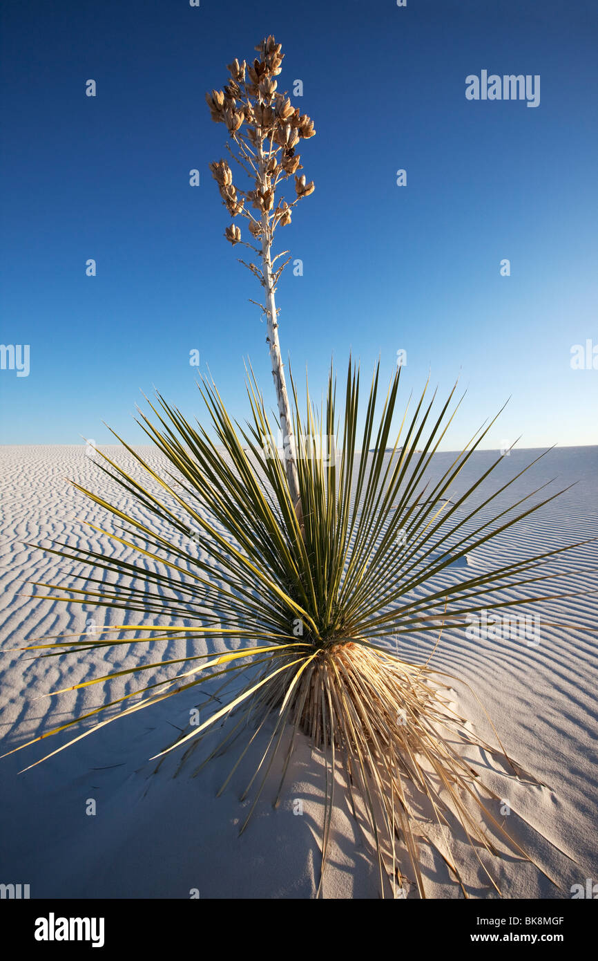 Yucca growing in sand, White Sands National Monument, New Mexico - Stock Image