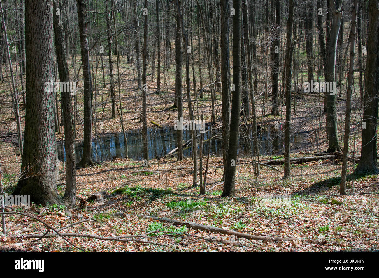 Vernal pond Eastern Deciduous forest early Spring E USA by Dembinsky Photo Assoc - Stock Image