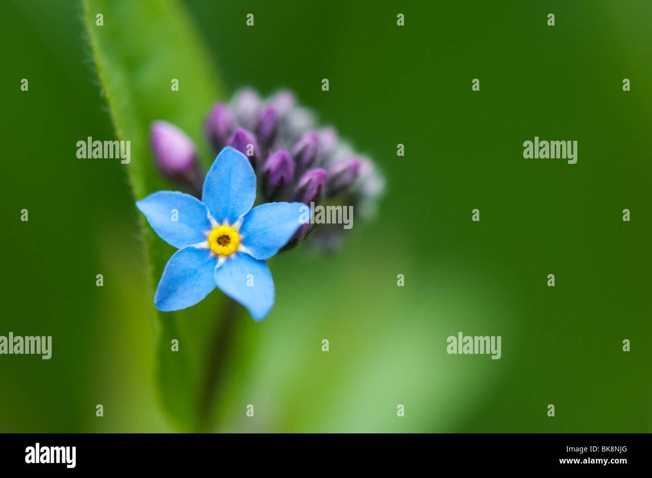 Myosotis sylvatica. Forget-me-not flower Stock Photo