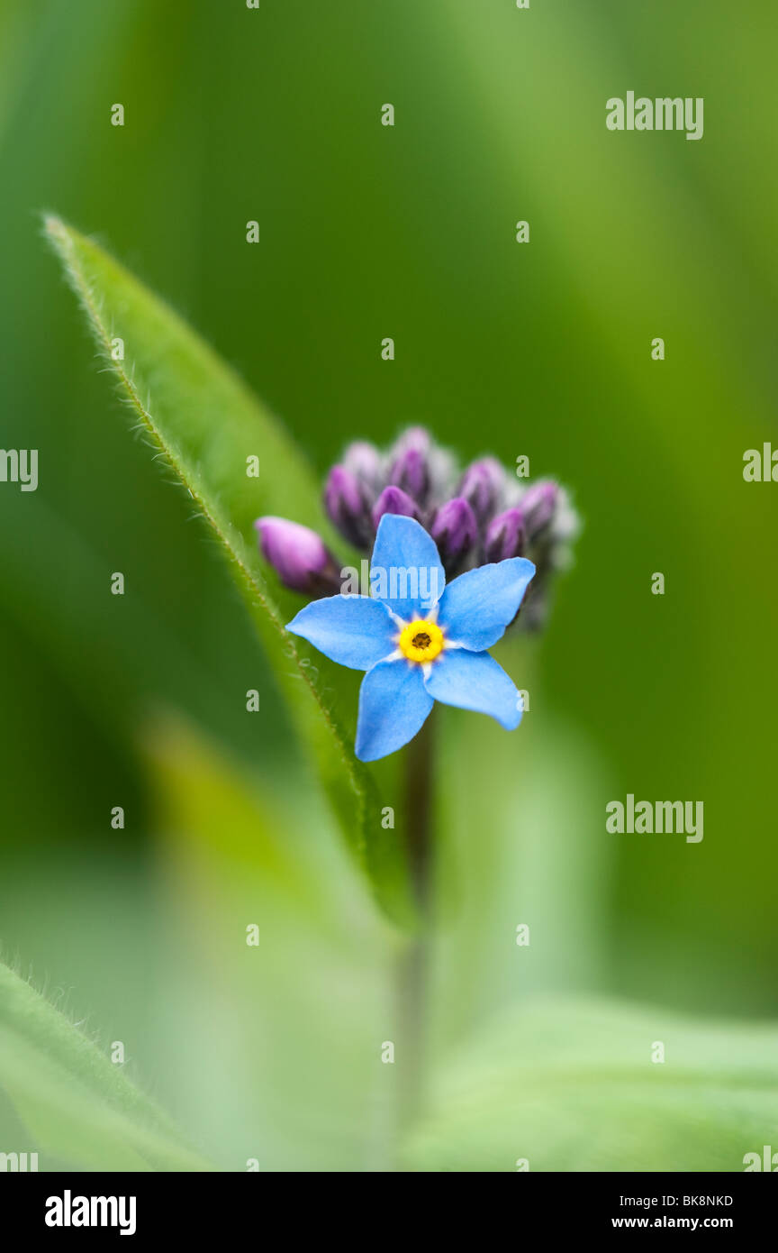 Blue Flowers With Yellow Centre Stock Photos Blue Flowers With