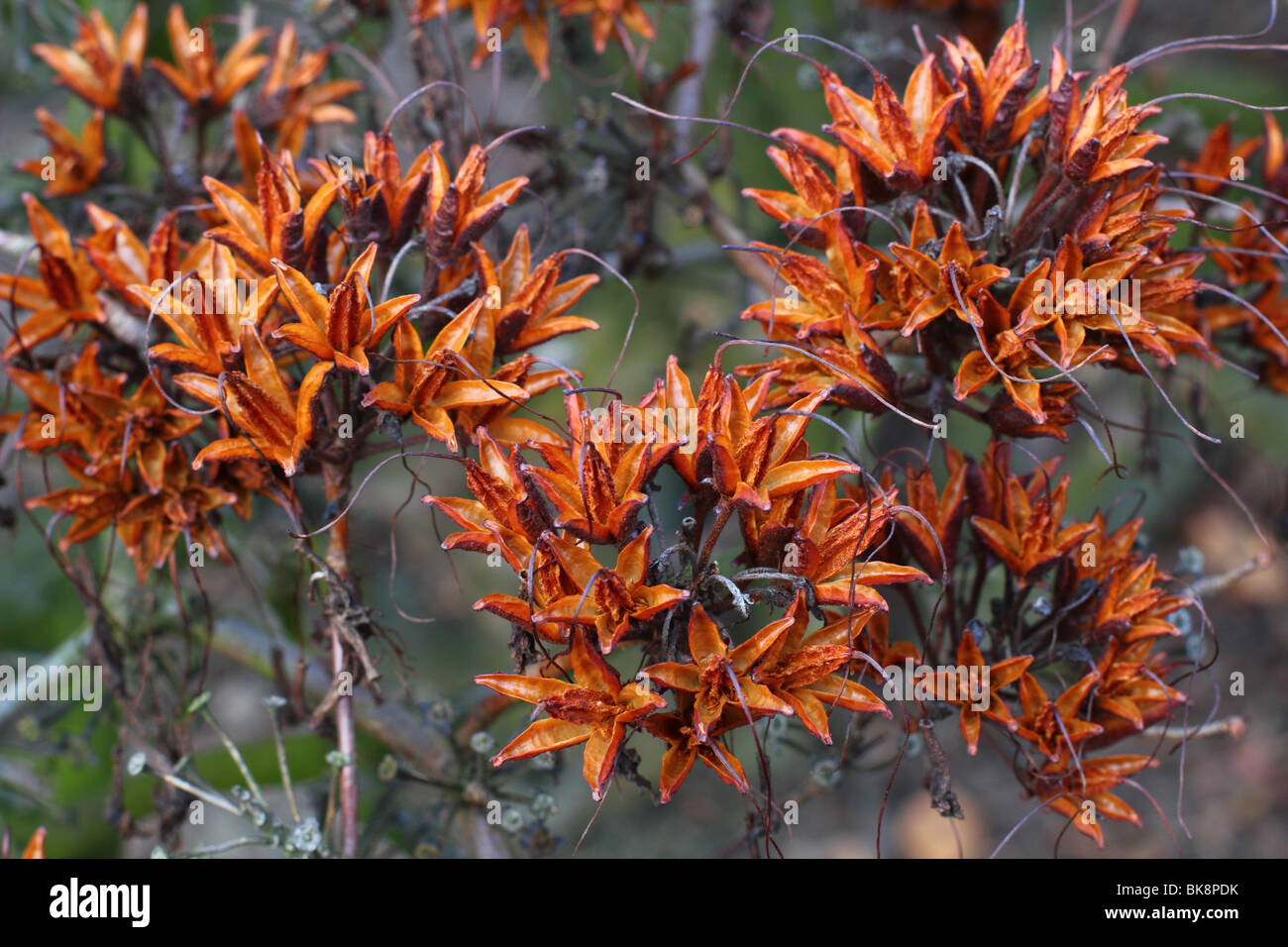Azalea seedheads Rhododendron luteum Stock Photo