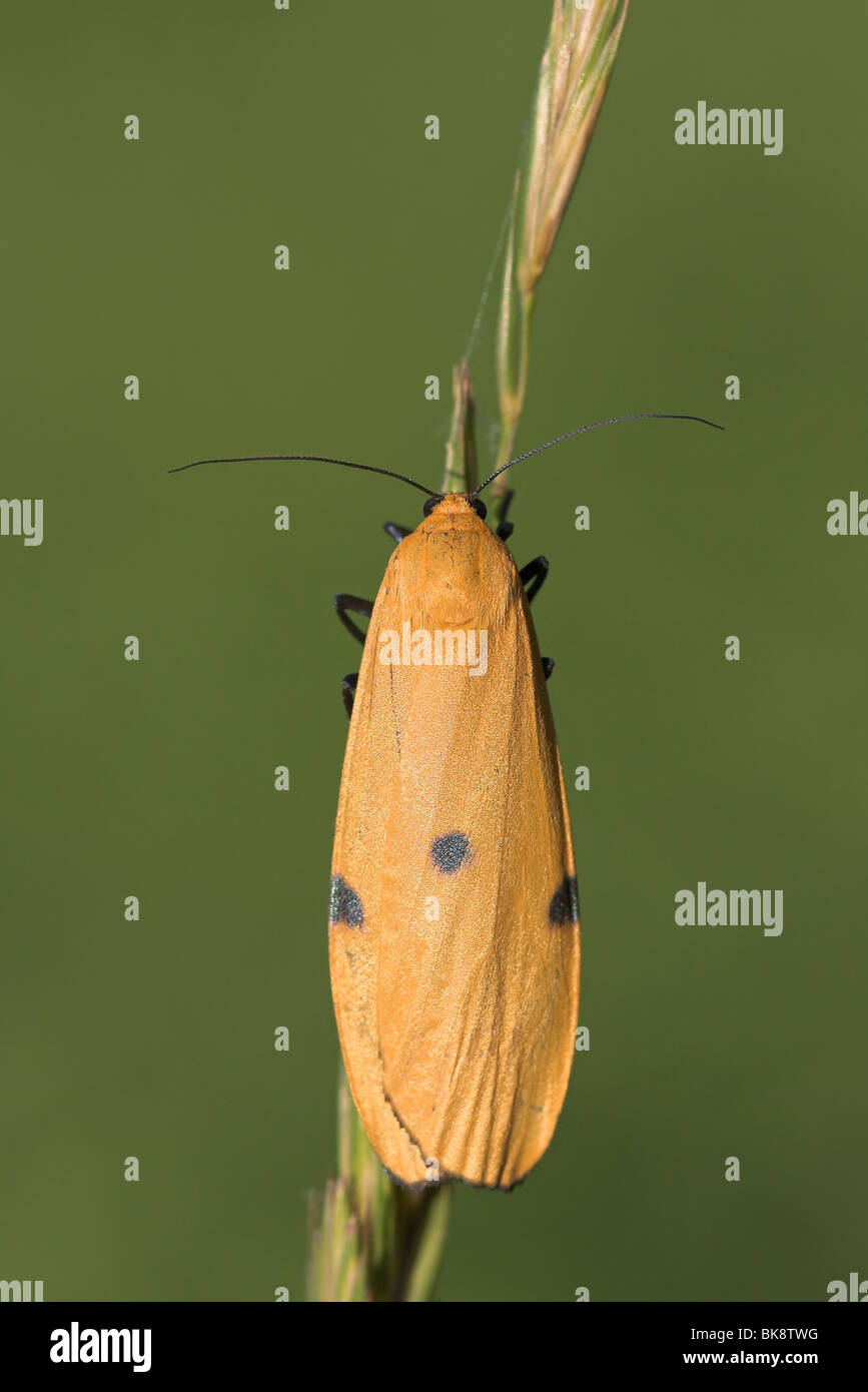 Four-spotted Footman female upperwing view Stock Photo