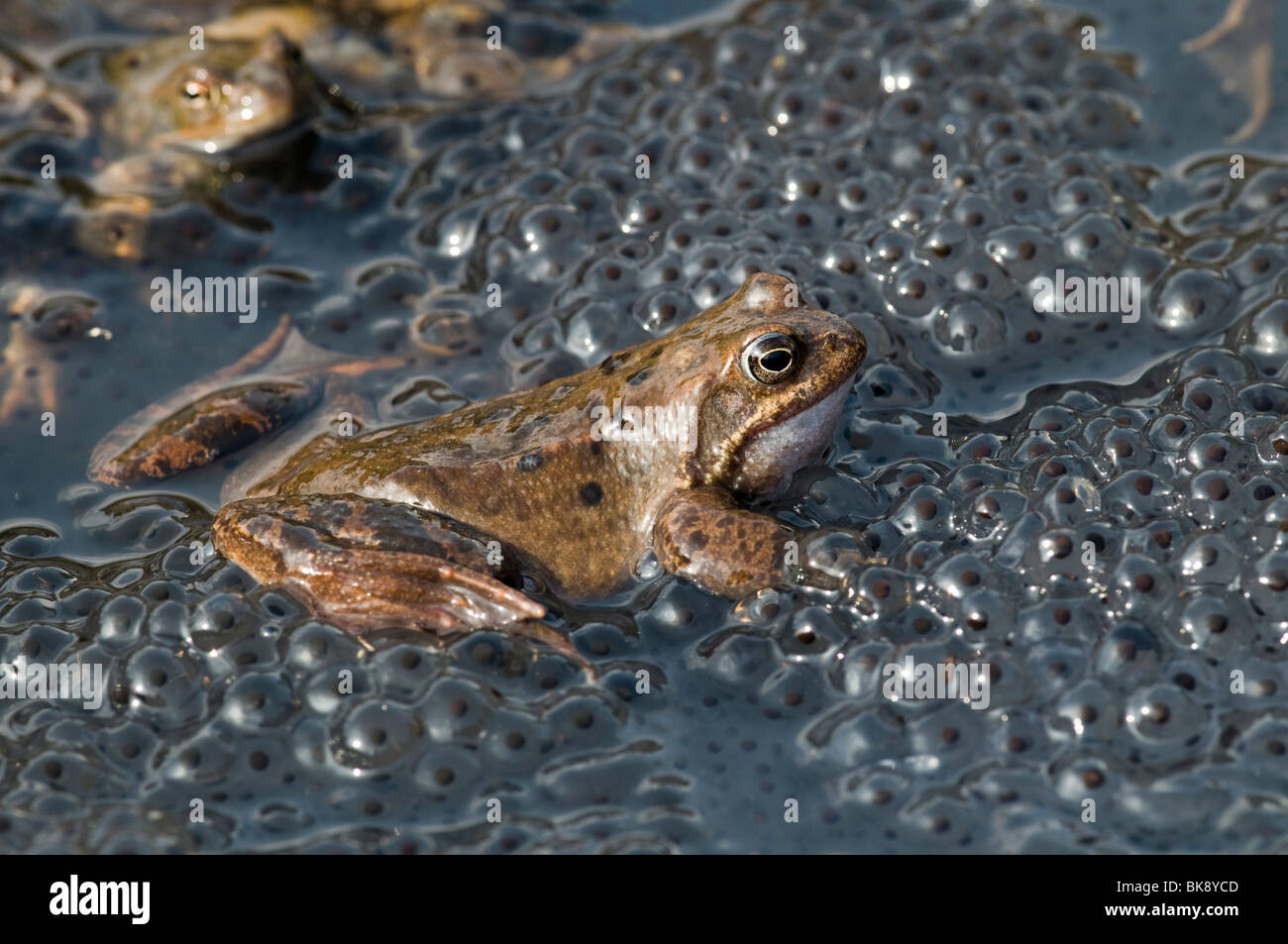 Common Frog (Rana temporaria), in the midst of spawn - Stock Image