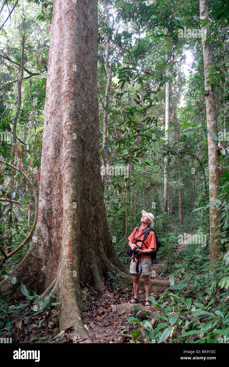 Trekking, hiking is amazed by a giant tree, mighty tree in the jungle, Nam Lan Conservation Area, in Boun Tai, Phongsali - Stock Image
