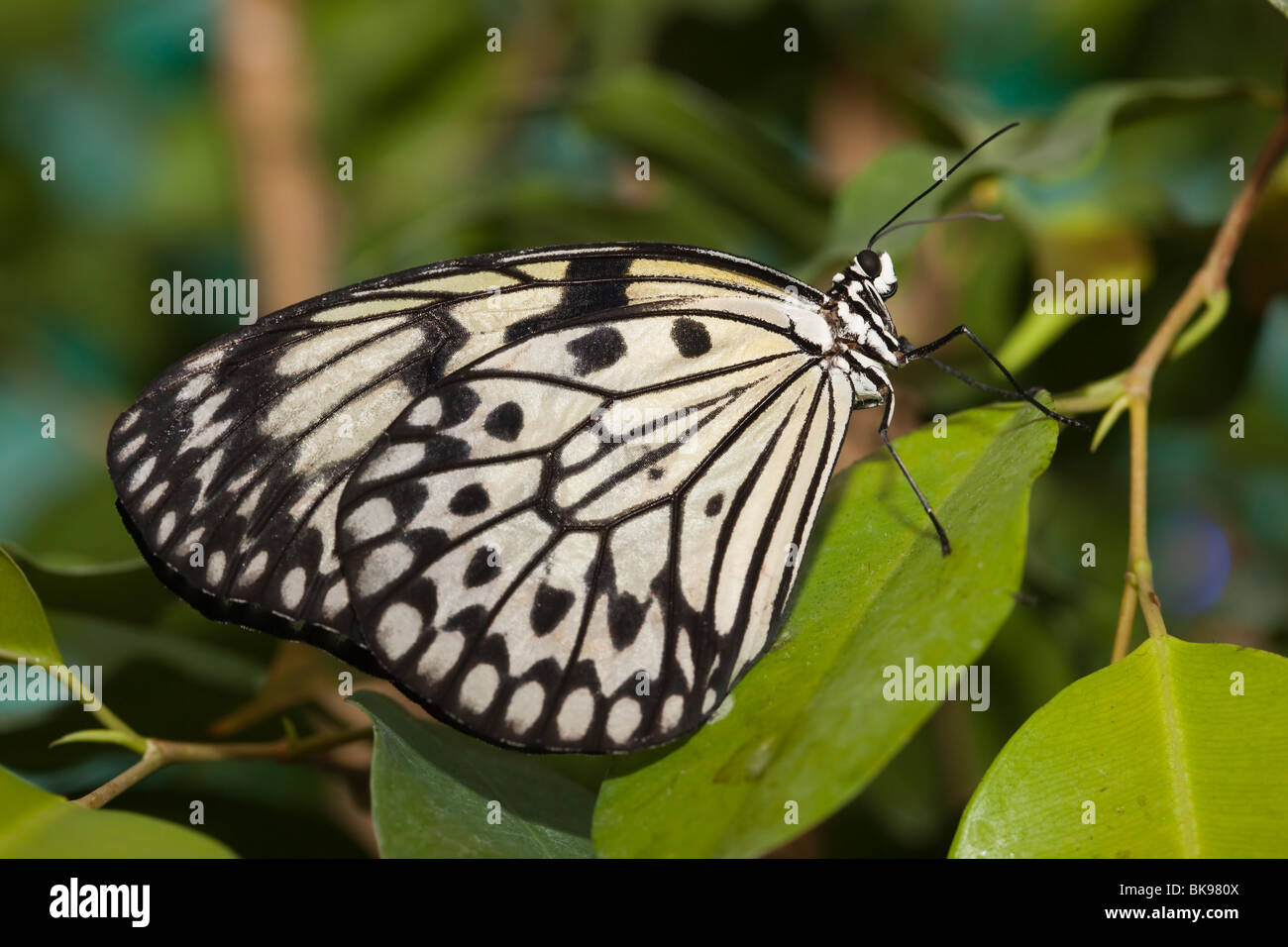 Idea leuconoe, Paper Kite, Rice Paper butterfly. The beautiful tropical butterfly sits on plant. - Stock Image
