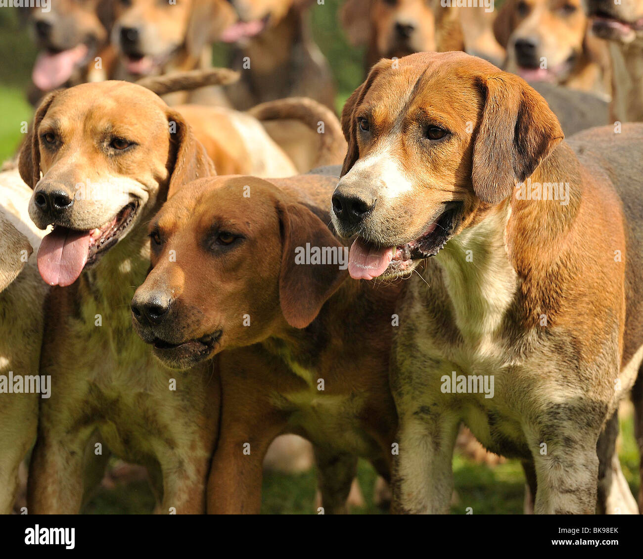 foxhounds - Stock Image