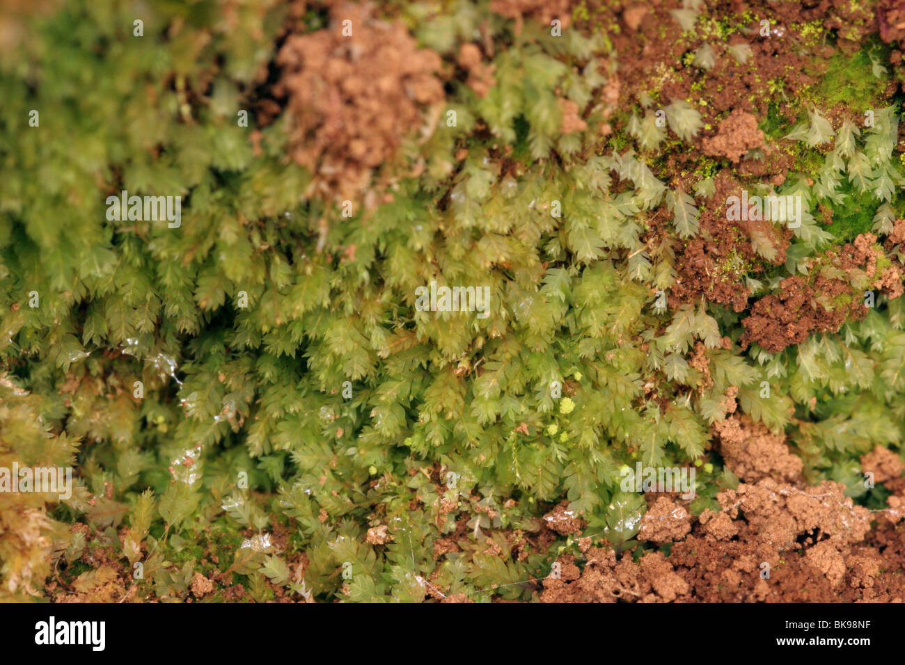 Luminous moss (Schistostega pennata) in a rabbit burrow, UK. - Stock Image