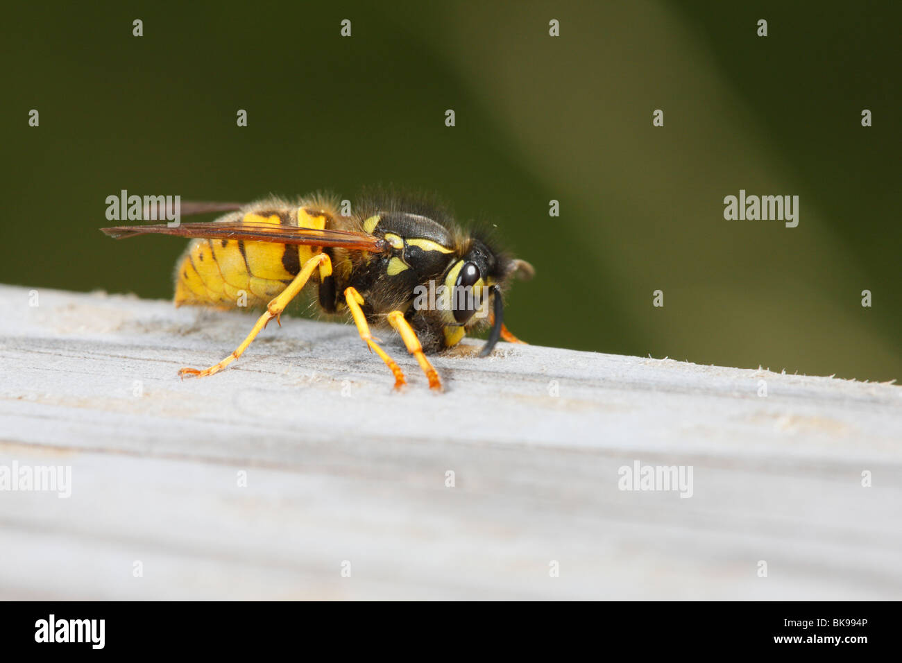 Common  Wasp chewing 0n handrail for nesting material - Stock Image