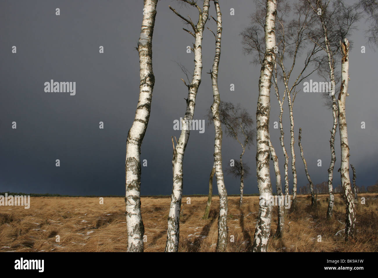 Birch trees with a black sky in the background - Stock Image