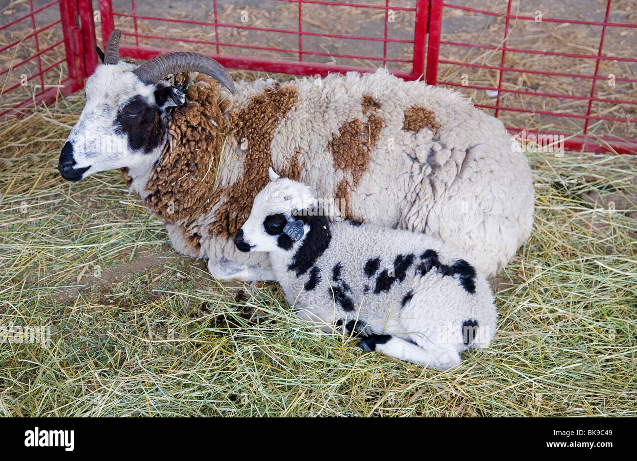 Jacob sheep and lamb. Jacob sheep originated in Syria 3000 years ago. They are a Heritage Sheep in the US - Stock Image