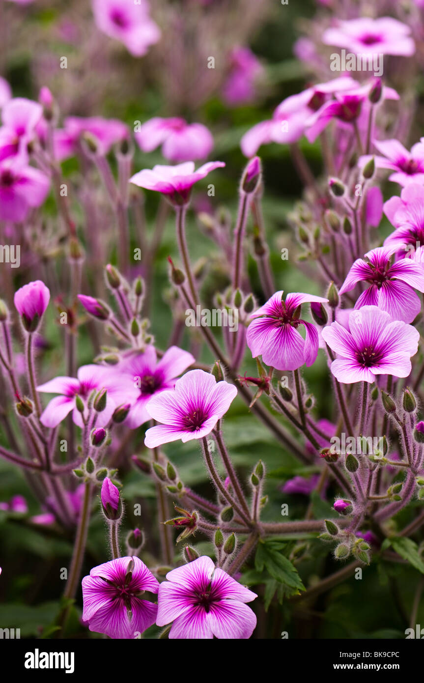 Madeira cranesbill, Geranium maderense in flower inside the Mediterranean Biome at The Eden Project in Cornwall - Stock Image
