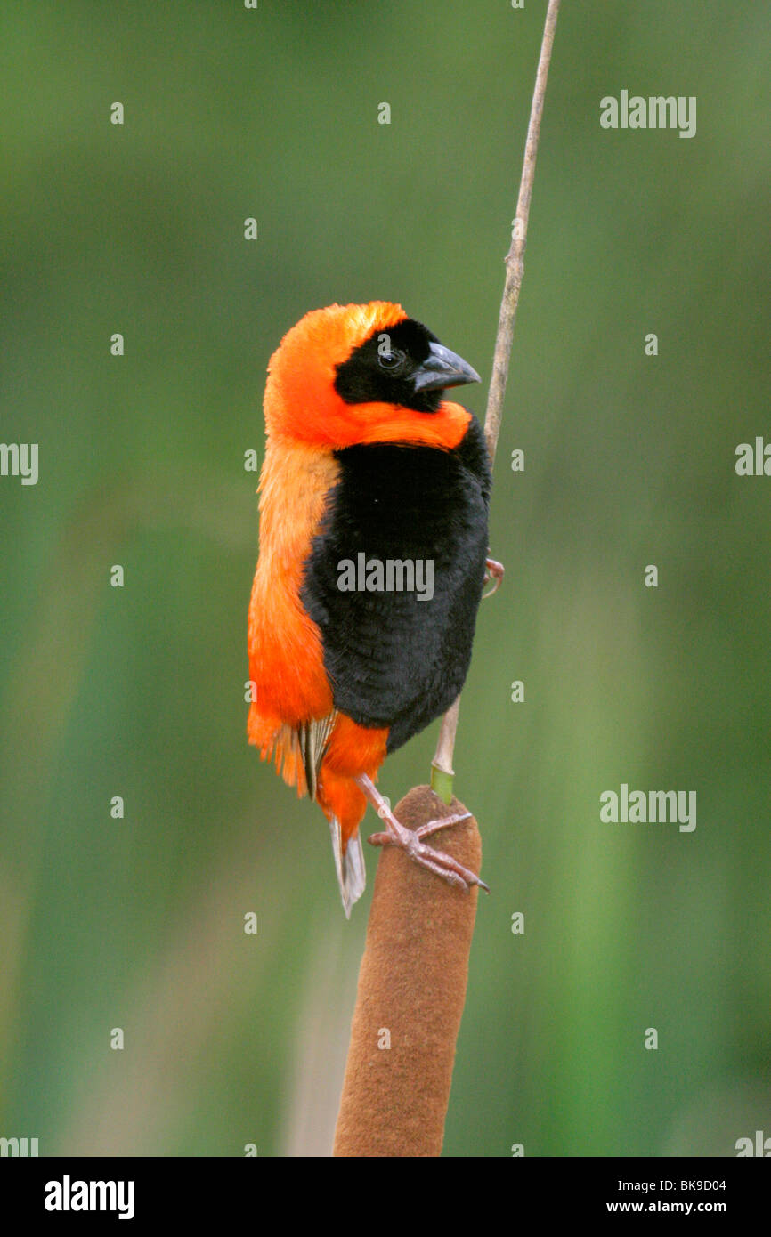 Southern Red Bishop (Euplectes orix) - Stock Image