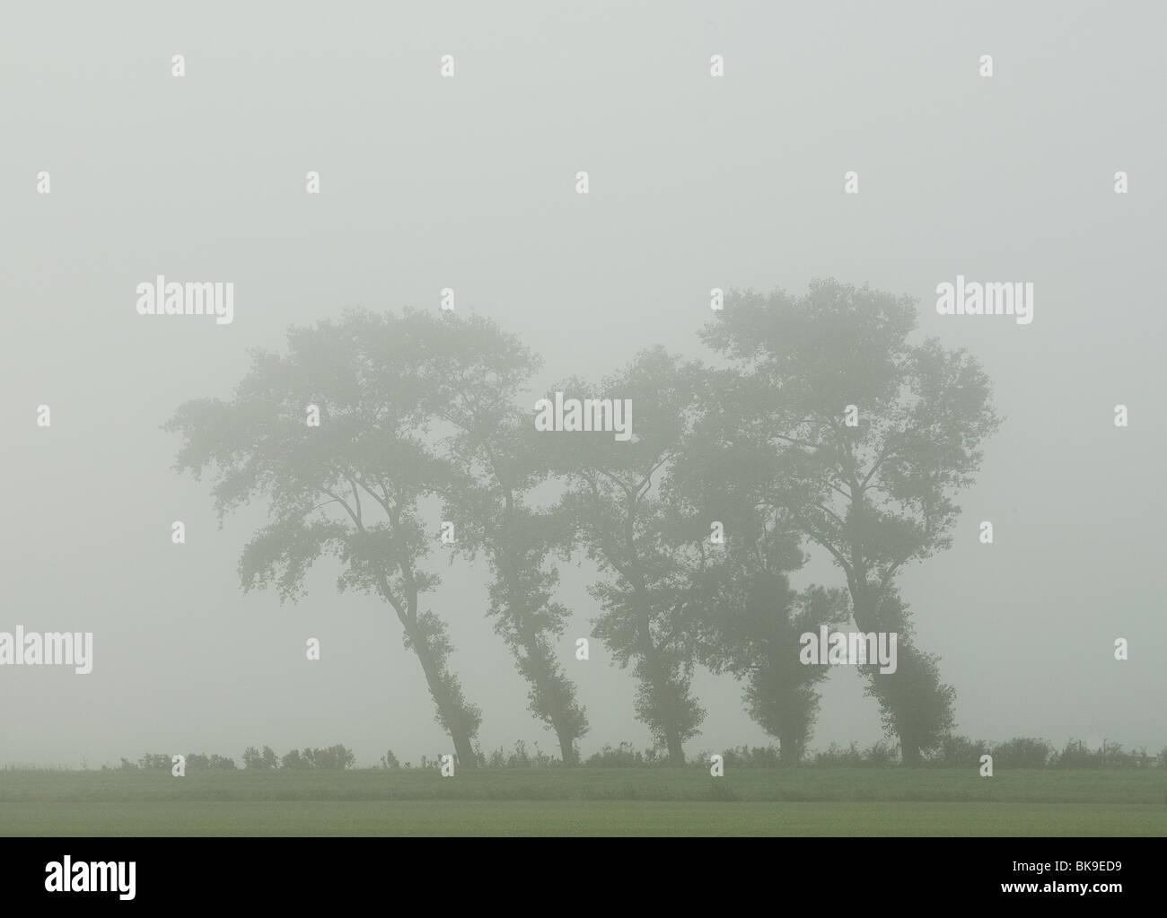 Bomen In De Mist Scheef Gewaaid Door De Wind Trees In The Mist Fog Stock Photo Alamy