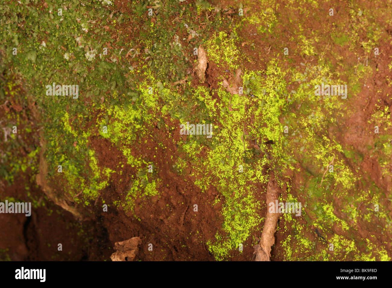 Luminous moss (Schistostega pennata) showing luminous protonema (Goblin lights) in a rabbit burrow, UK. - Stock Image
