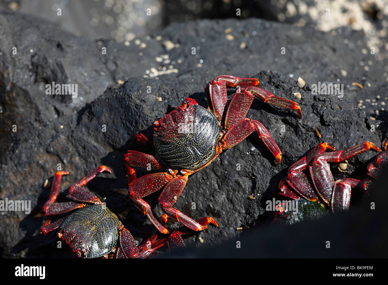 Red rock crabs, La Palma, Canary Islands, Spain - Stock Image