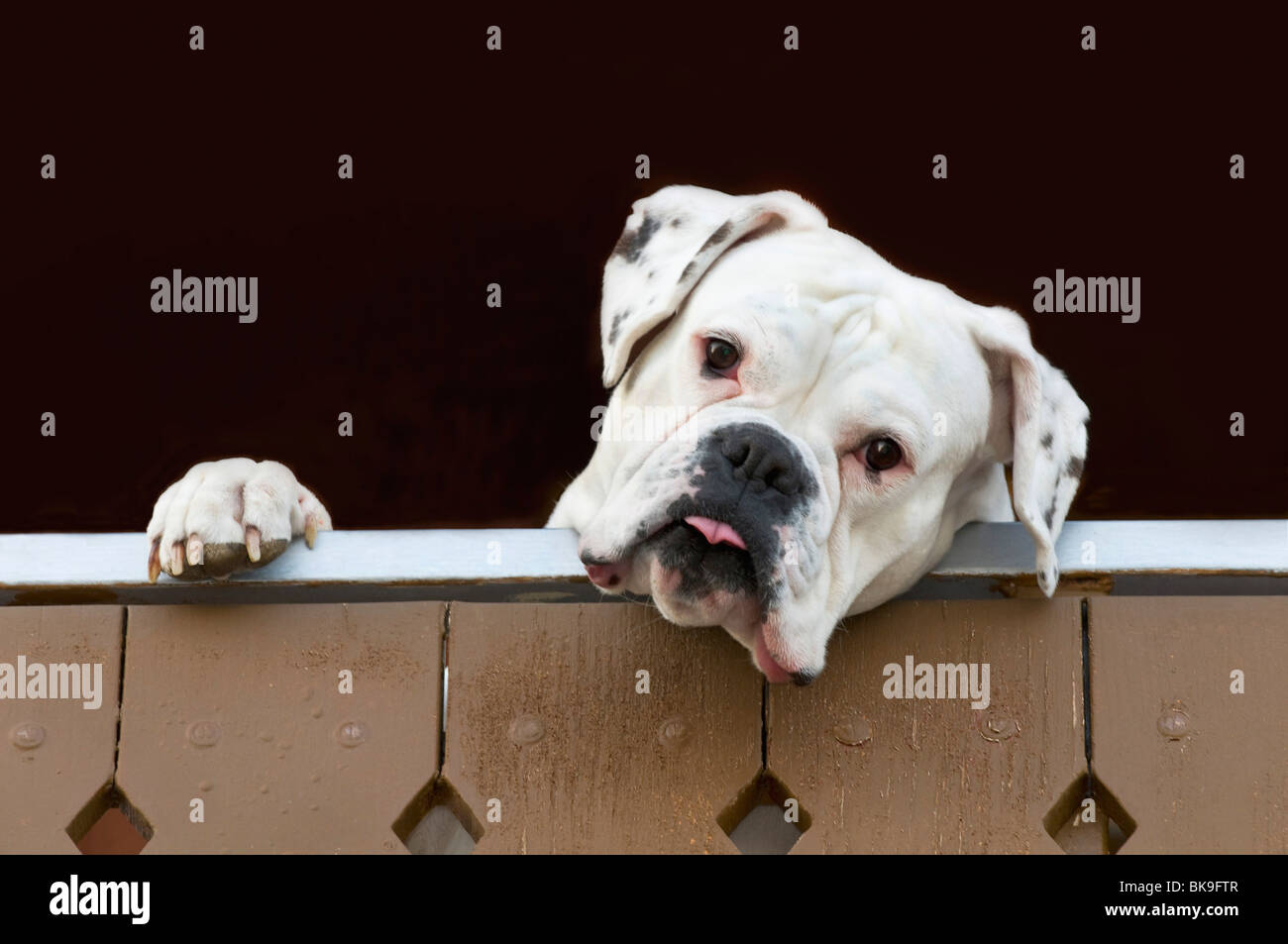 White boxer looking over a fence - Stock Image