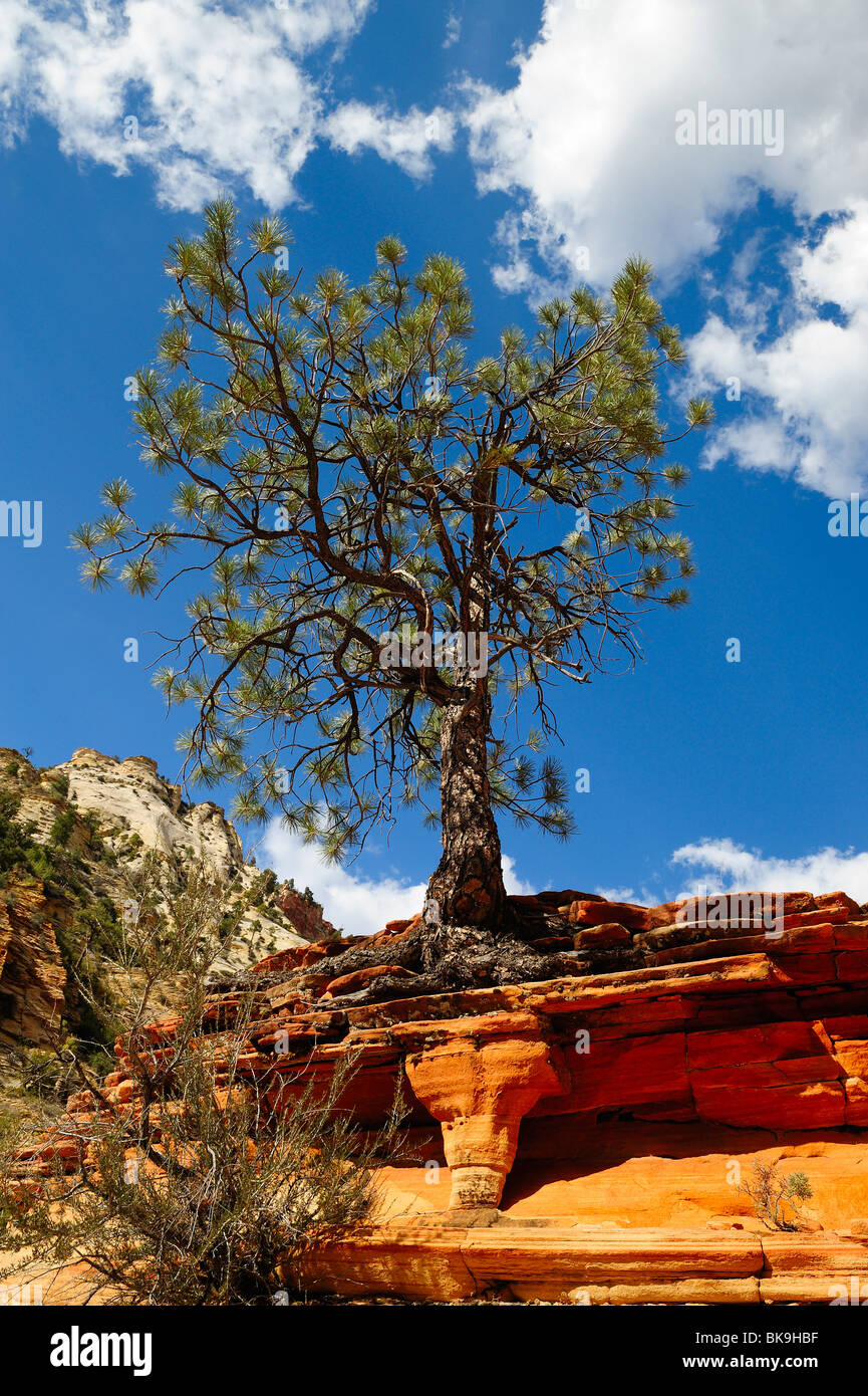 Ponderosa pine growing on a cliff in Zion National Park, Utah, USA - Stock Image