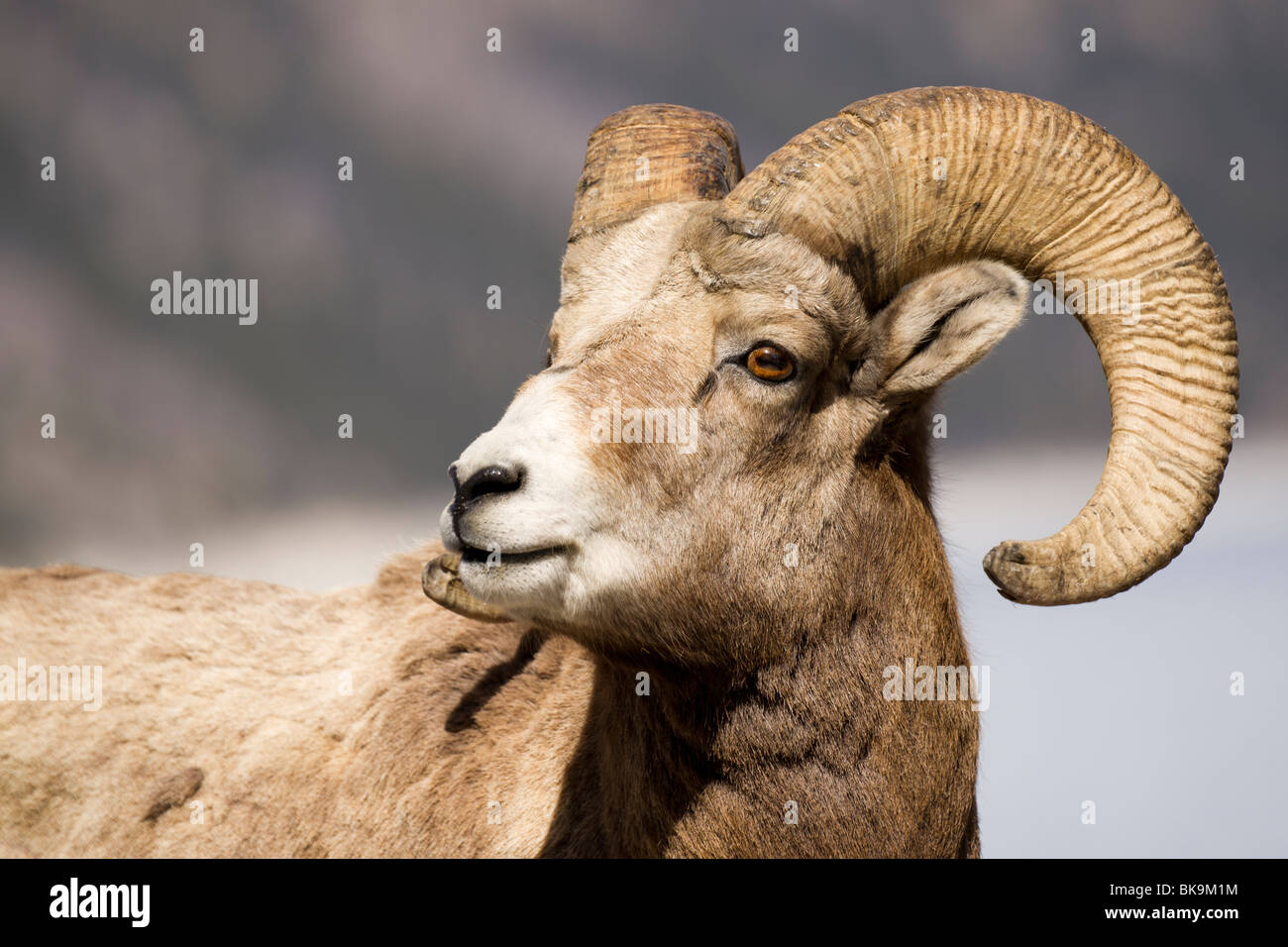 A  portrait of a young Rocky Mountain Sheep. Stock Photo