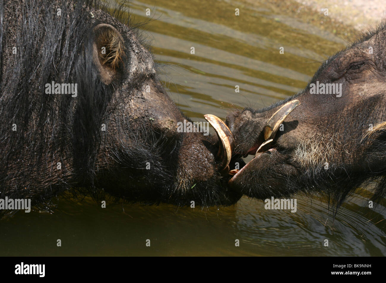 Two Giant Forest Hogs 'kissing' in a pond, Uganda - Stock Image