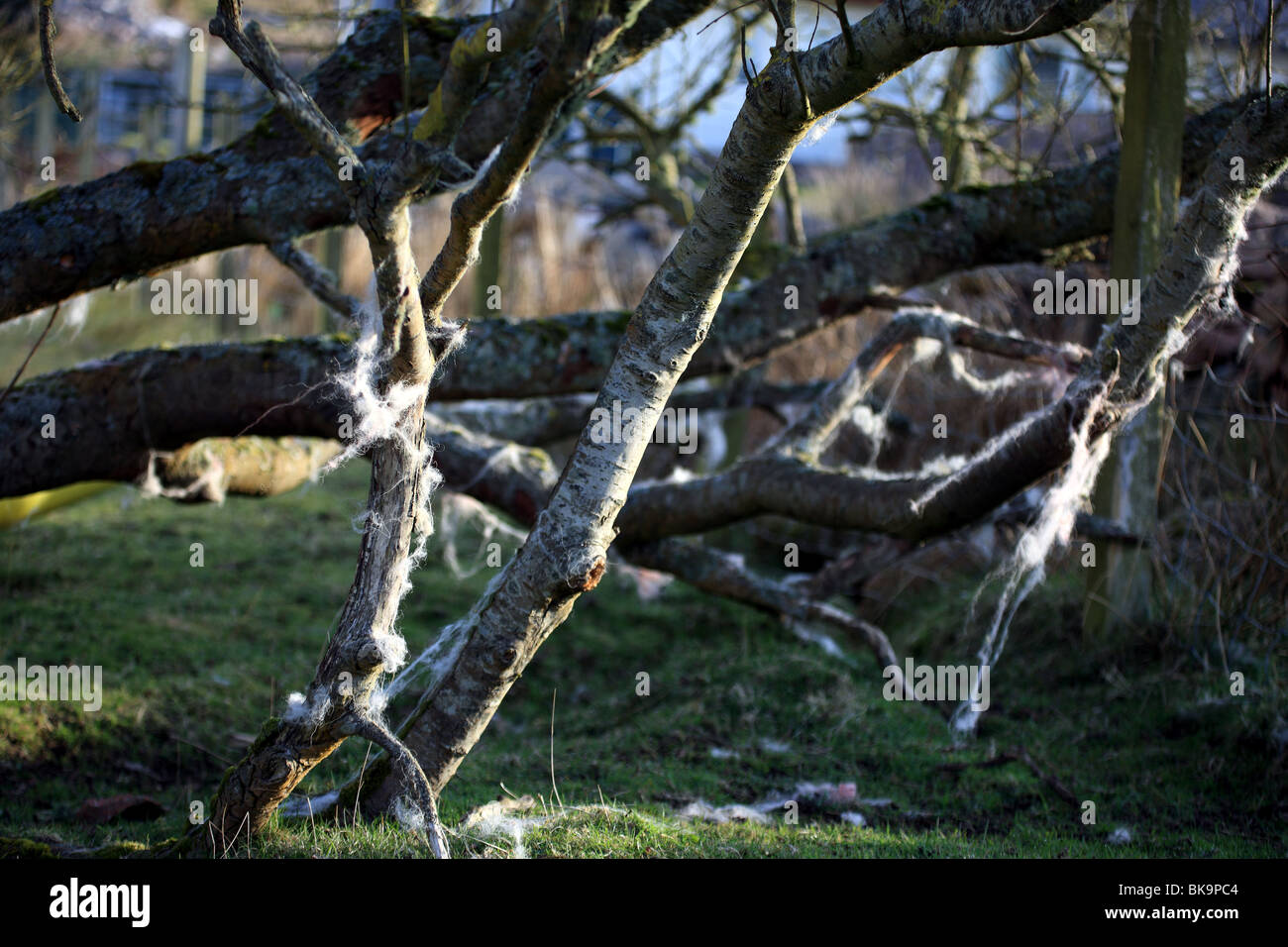Sheep wool caught in tree branches and blowing in the wind - Stock Image