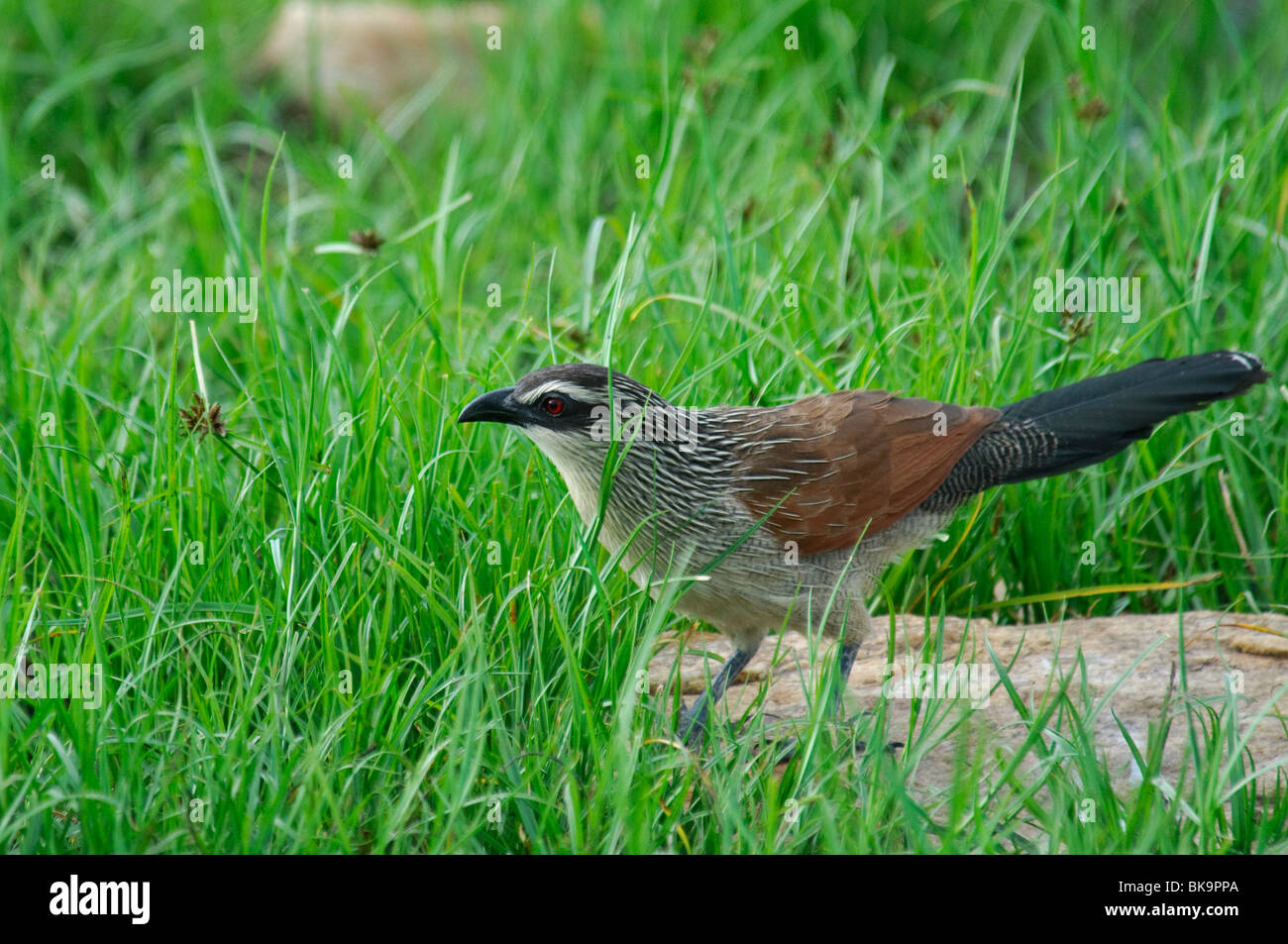 White-browed Coucal Centropus superciliosus - Stock Image
