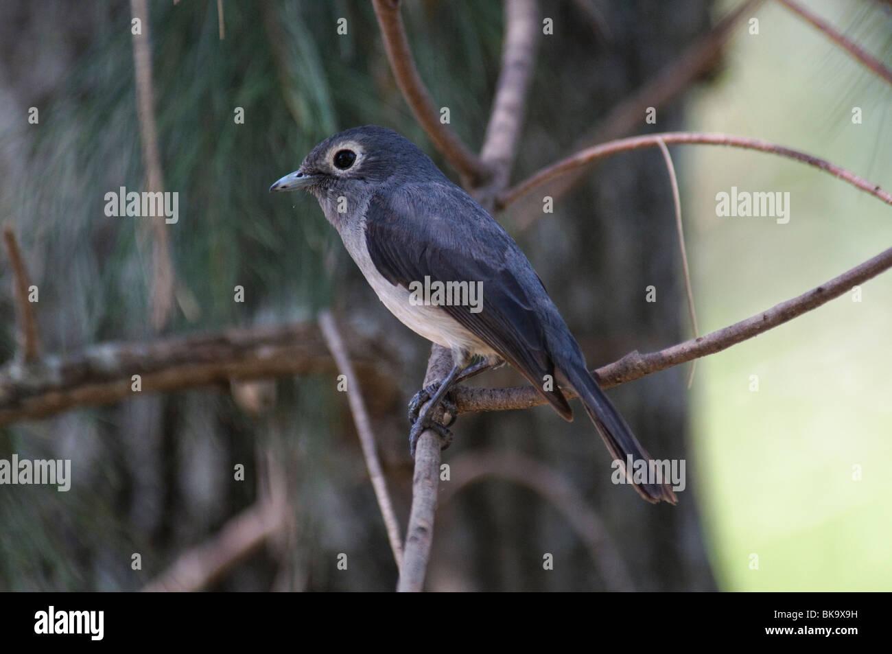 White-eyed Slaty Flycatcher Melaenornis fischeri - Stock Image