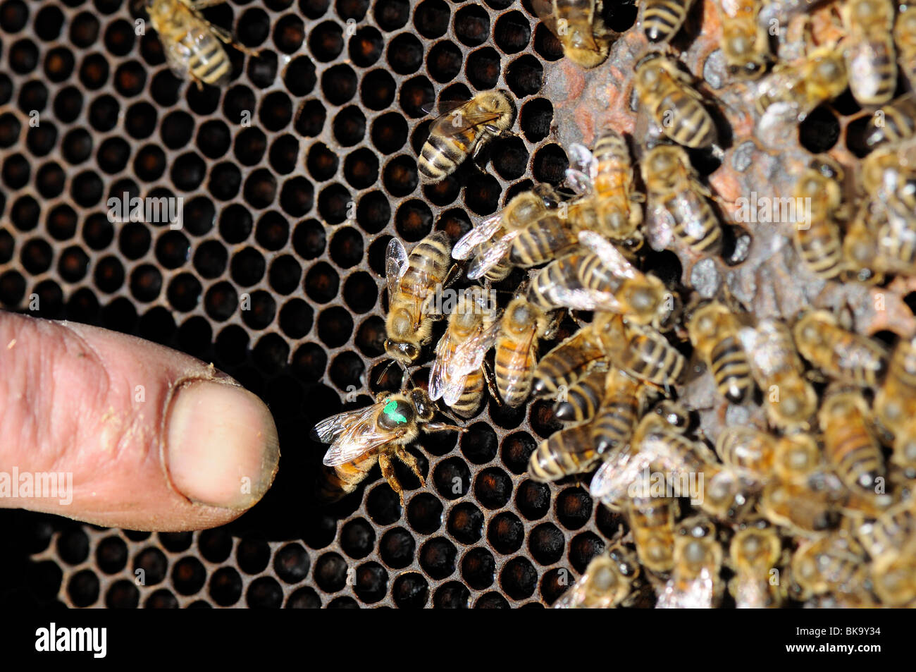 Thats the queen bee. - Stock Image
