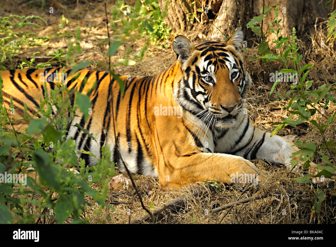 Tiger in the thick jungles of Kanha national park - Stock Image