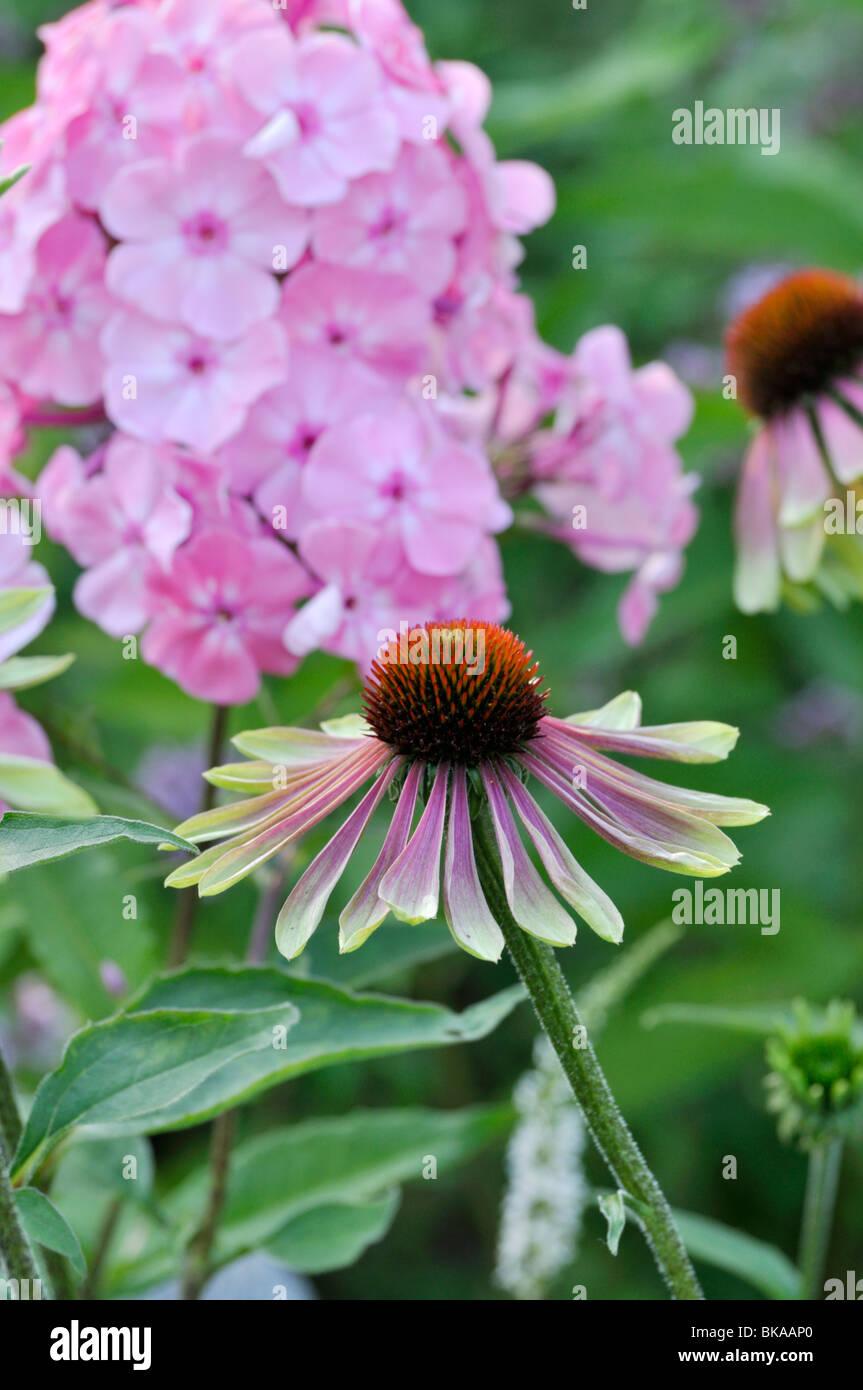 Purple cone flower (Echinacea purpurea 'Green Envy') - Stock Image