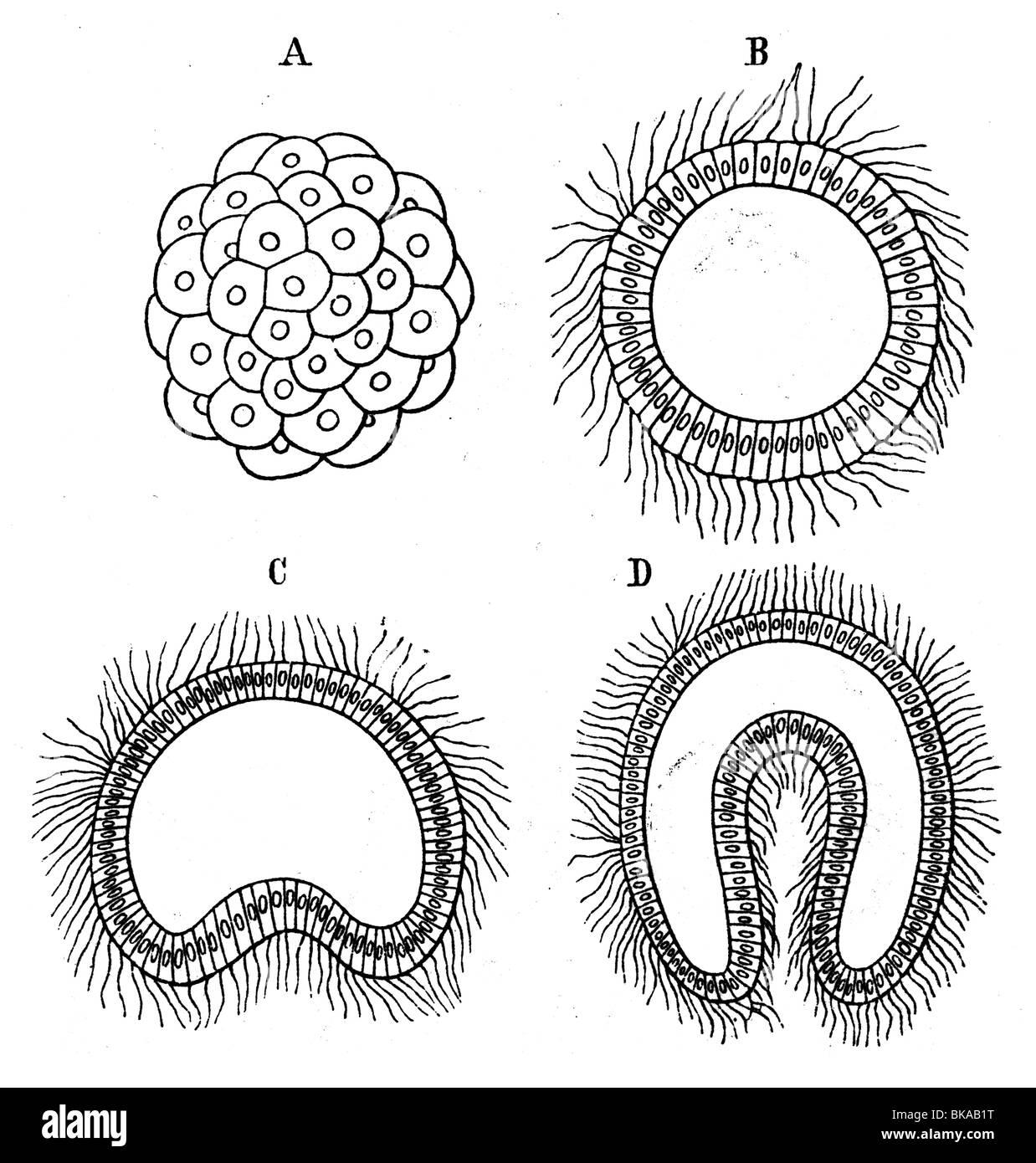 Embryogenesis Morula Blastula Gastrula - Stock Image