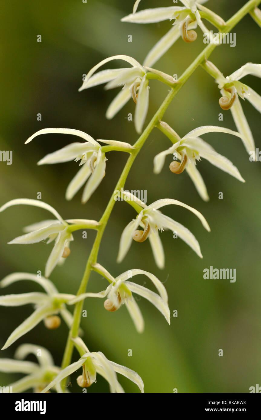 Dendrochilum simile - Stock Image