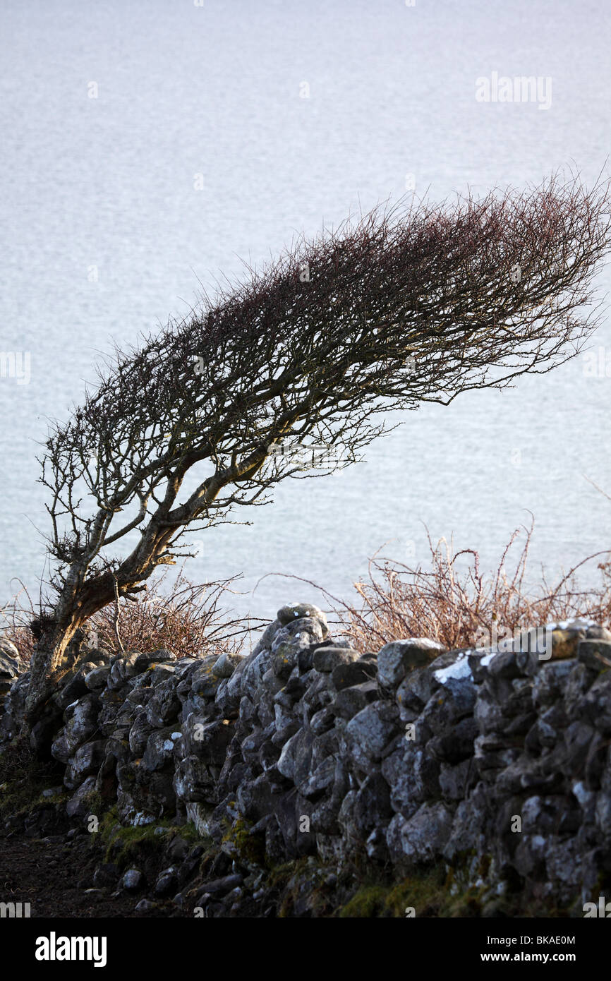 a tree bent by years of growing in the strong winds on the west coast of County Clare Ireland - Stock Image