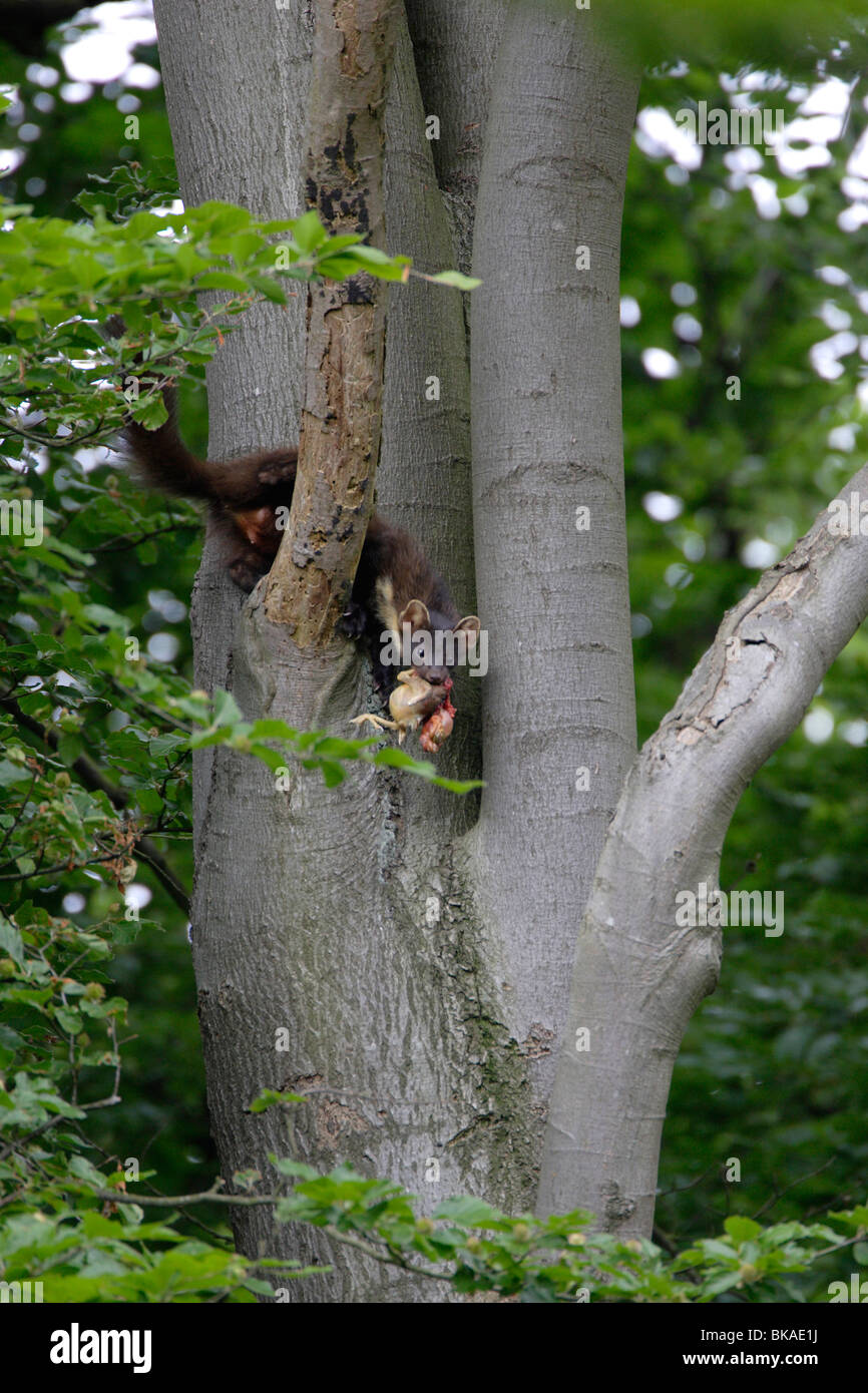 pine marten (female) returning to the nest wist prey in the early morning - Stock Image