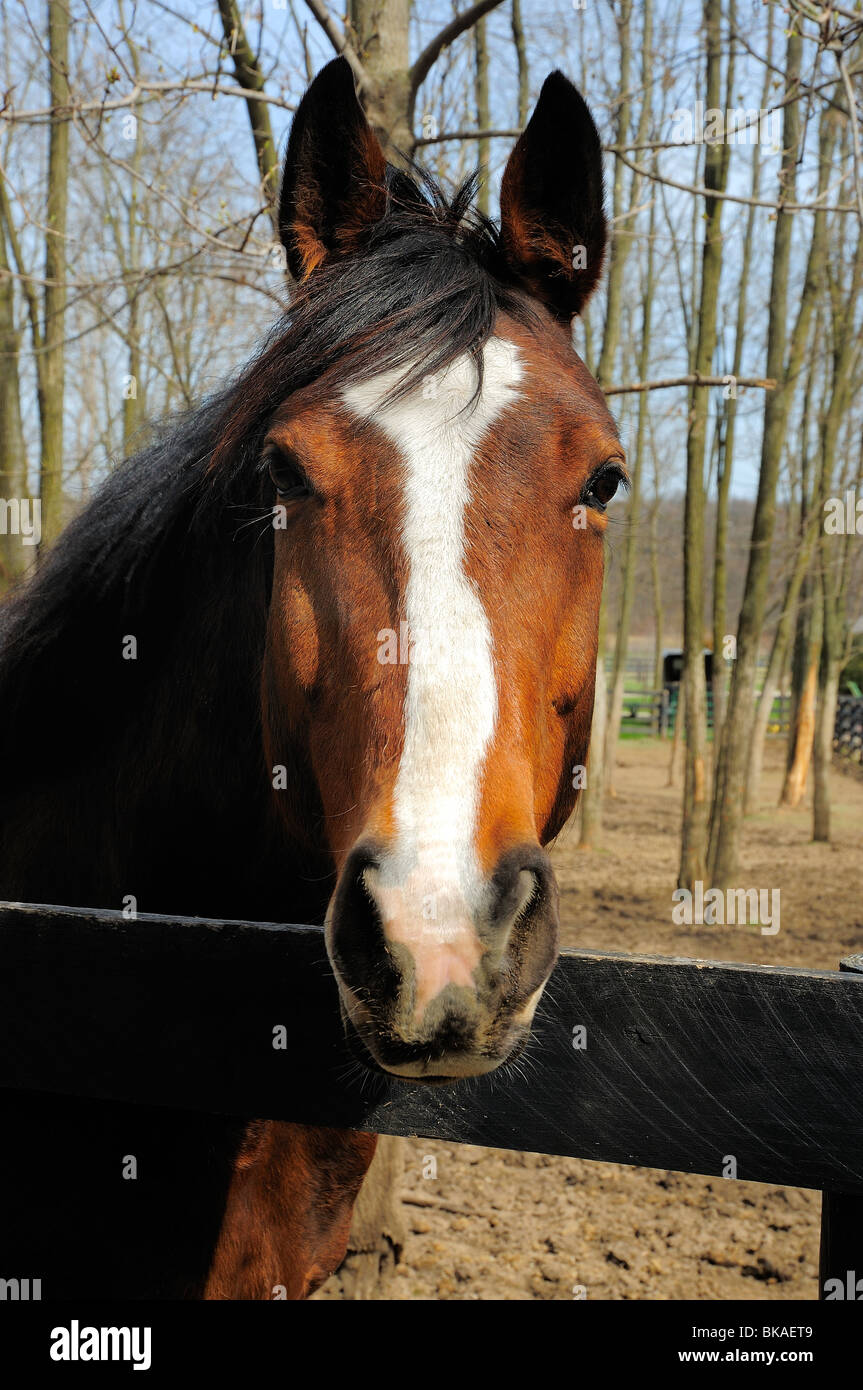 Strong gelding looking intensely into camera - Stock Image
